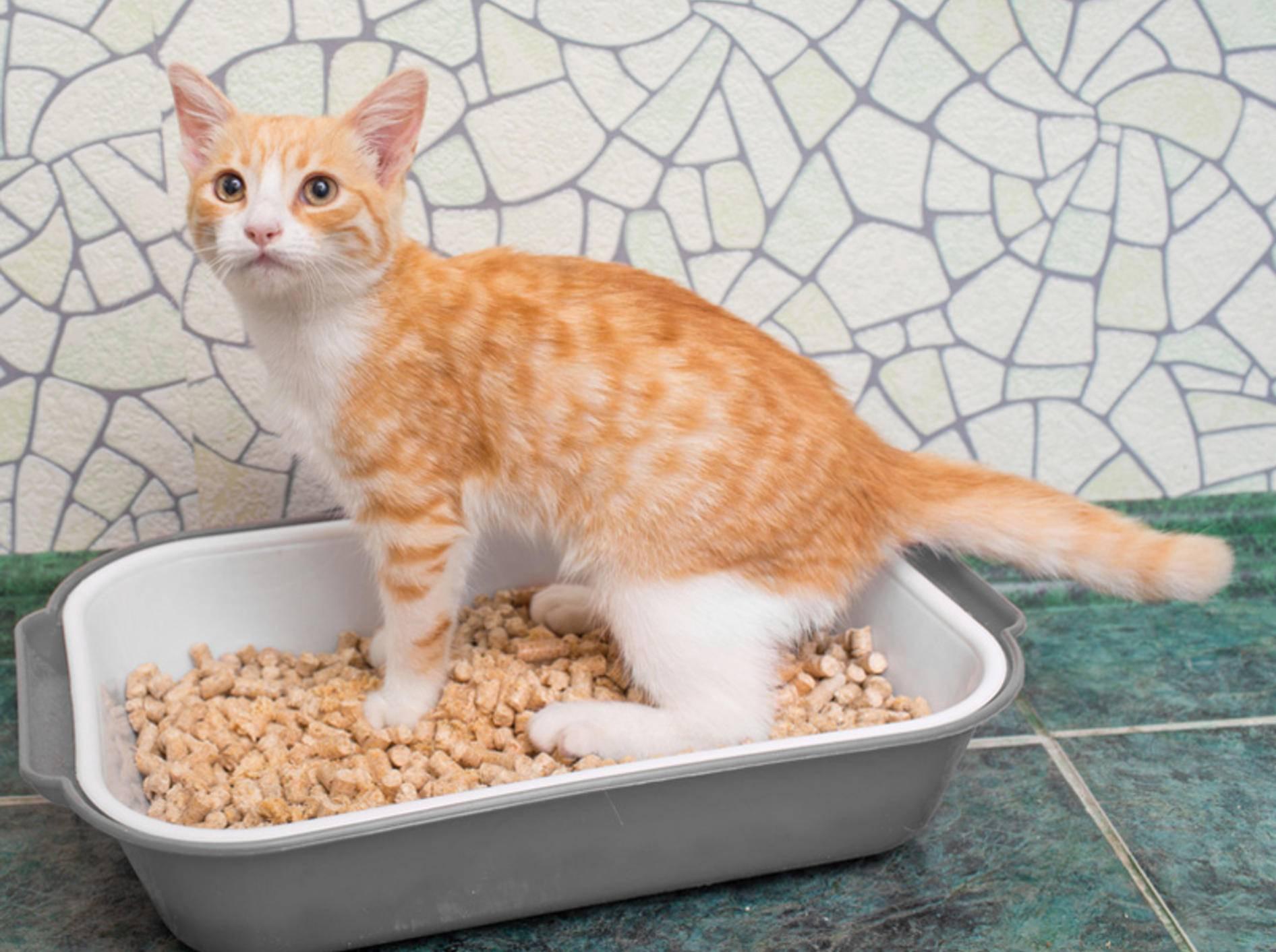 Zwar geht dieser Stubentiger brav aufs Katzenklo – seine Artgenossen hinterlassen dennoch gerne Katzenurin-Geruch auf Möbeln und Teppichen – Tiplyashina Evgeniya/Shutterstock