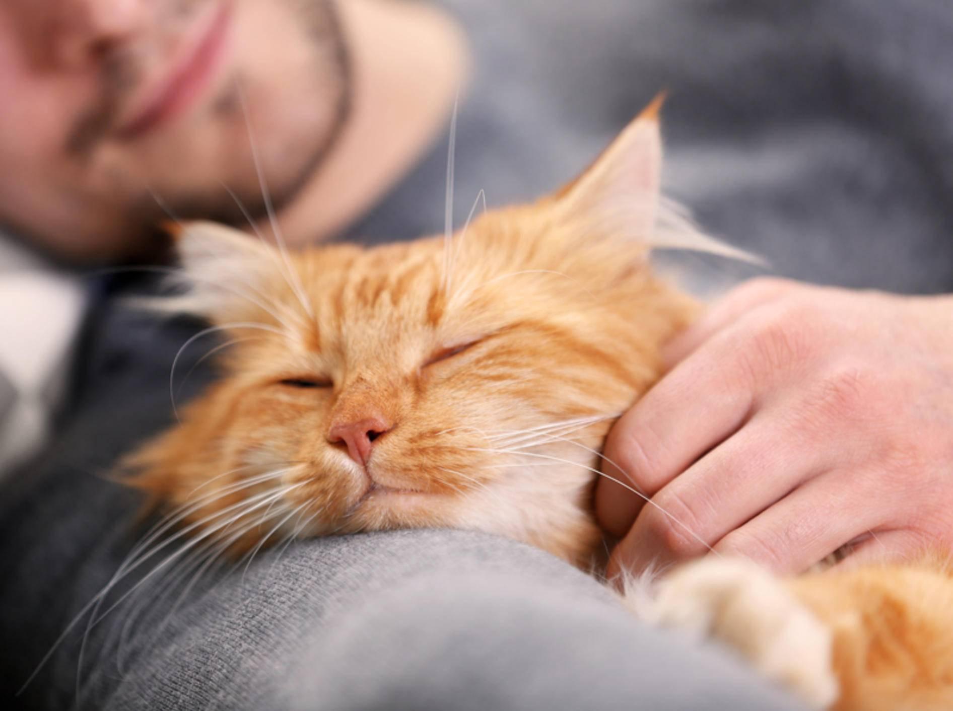 Mit viel Liebe und guter Pflege können FIV-positive Katzen ein ganz normales, schönes Leben führen – Shutterstock / Africa Studio