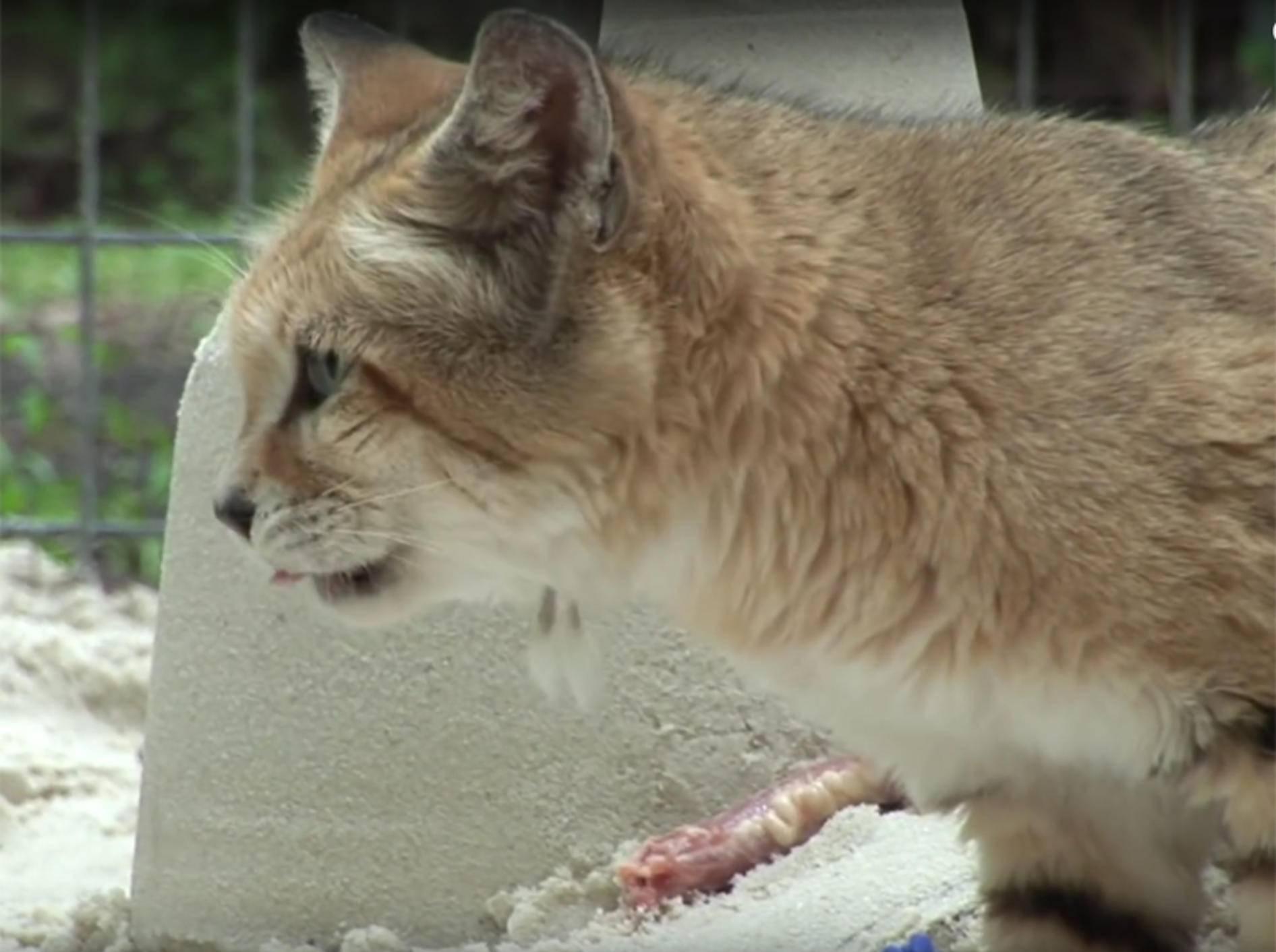 Sandkatzen feiern Geburtstag mit Fleischtorte und Sandburg – YouTube / Big Cat Rescue
