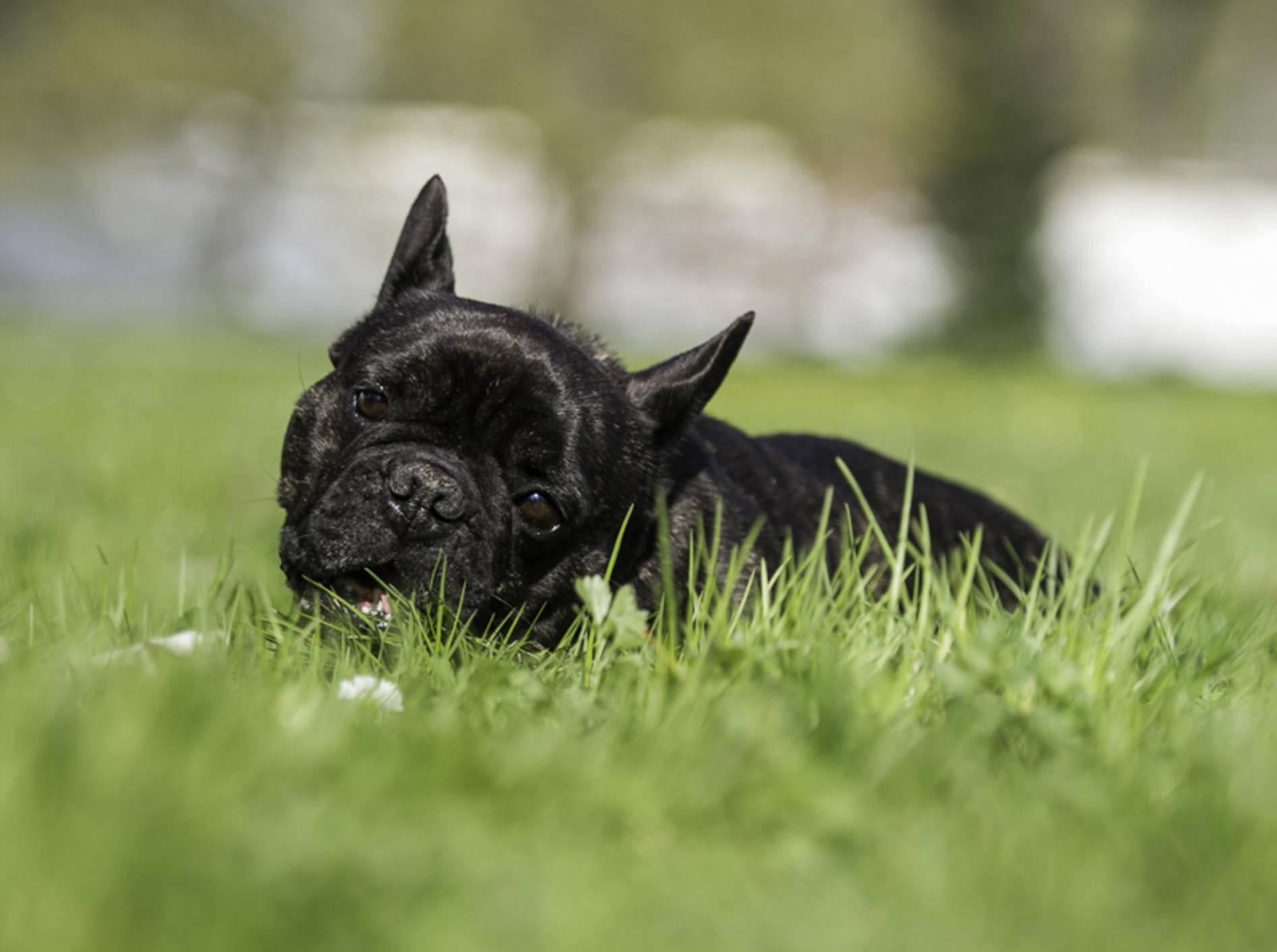 warum essen hunde gras