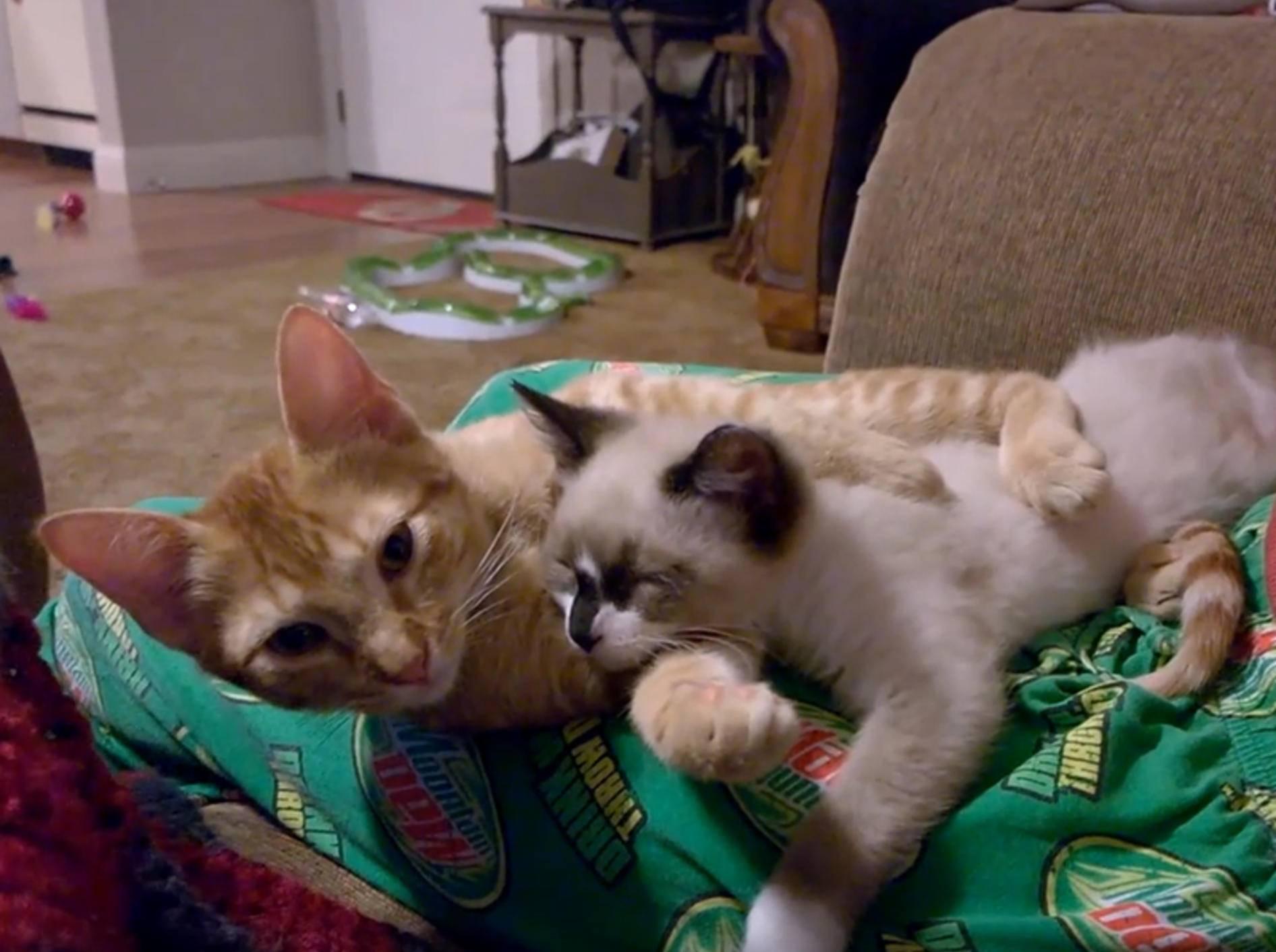 Skidmark und Daenerys: Zwei Katzen verstehen sich prima – YouTube / E511