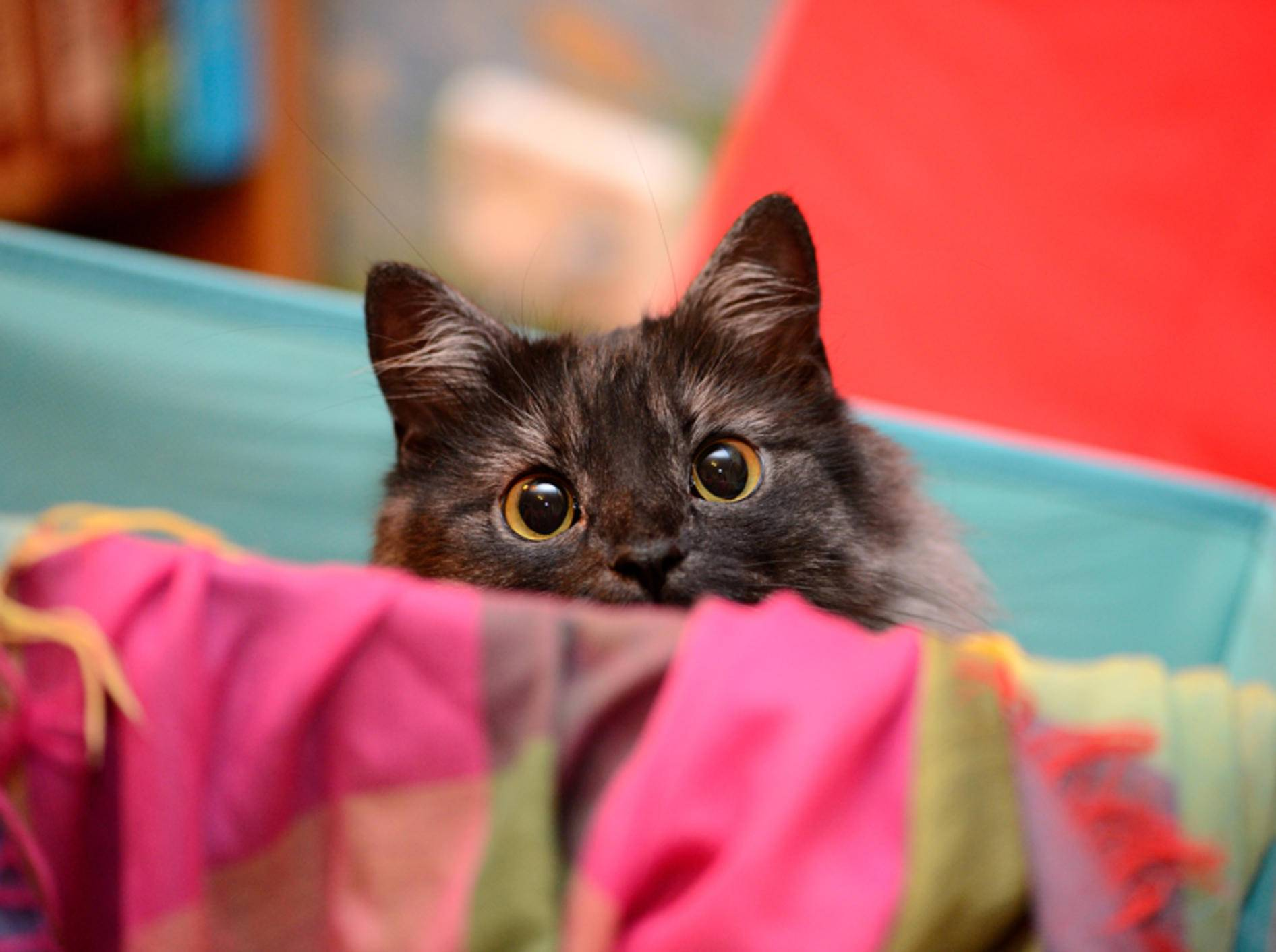 """""""Halloooo! Hier bin ich! Beachte mich! Spiel mit mir!"""": Katzen wissen ganz genau, wie sie ihre Lieblingsmenschen bezirzen können – Shutterstock / The Len"""