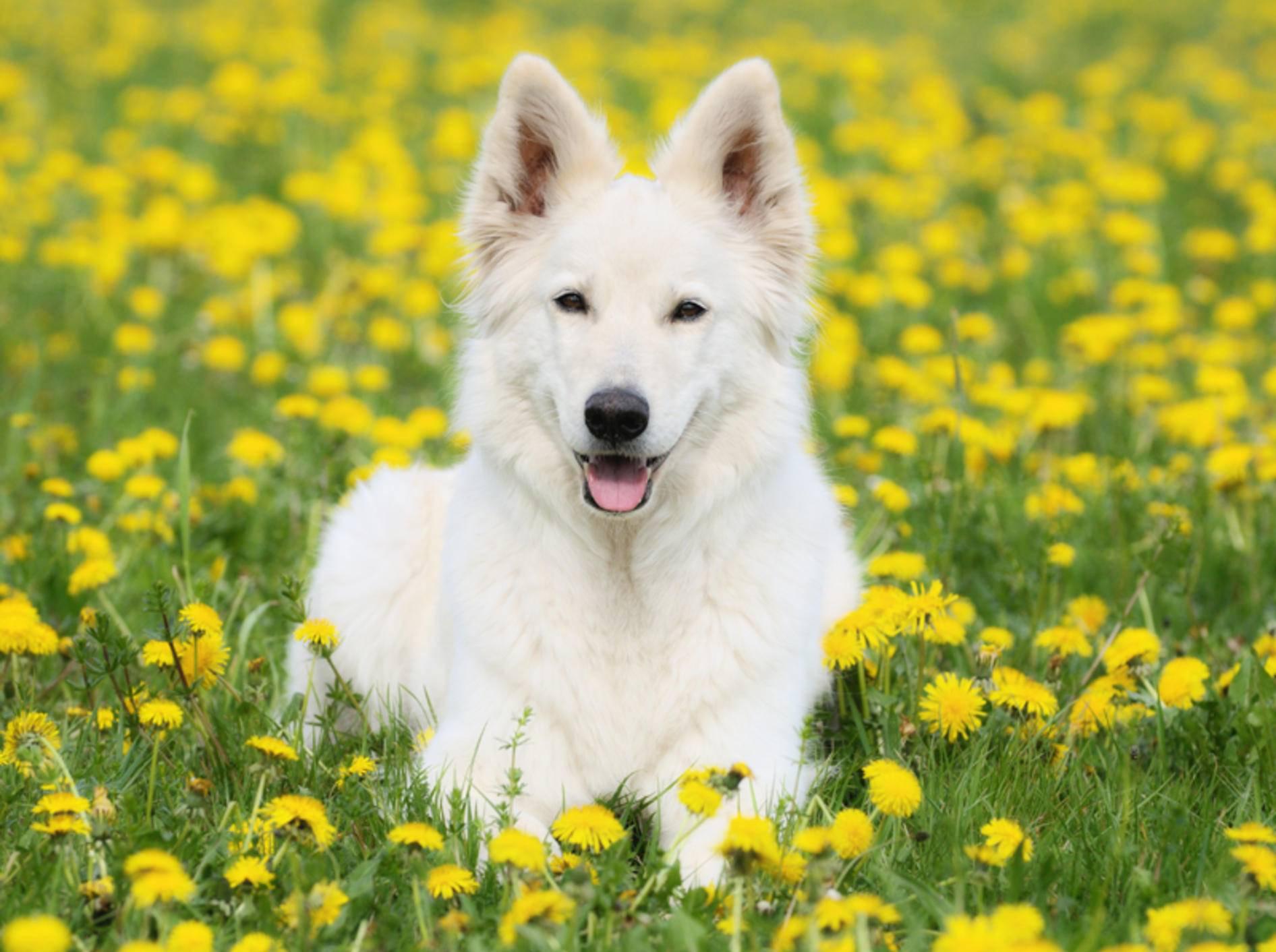 Zum Glück scheint dieser weiße Schäferhund keine Pollenallergie zu haben – Shutterstock / anetapics