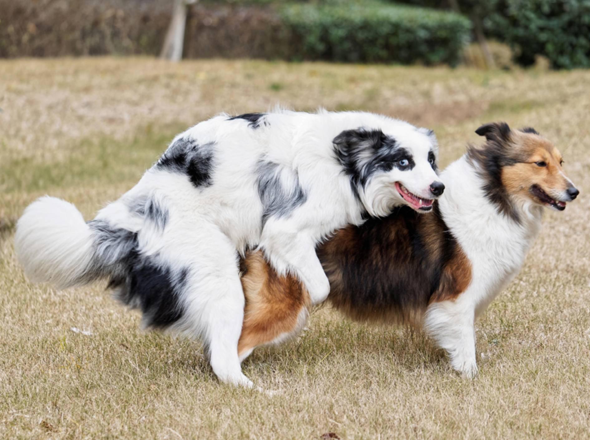 """Zwei Hunde in flagranti beim Deckakt: """"Hey! Nicht gucken! Hier gibt es nichts zu sehen."""" – Shutterstock / atiger"""
