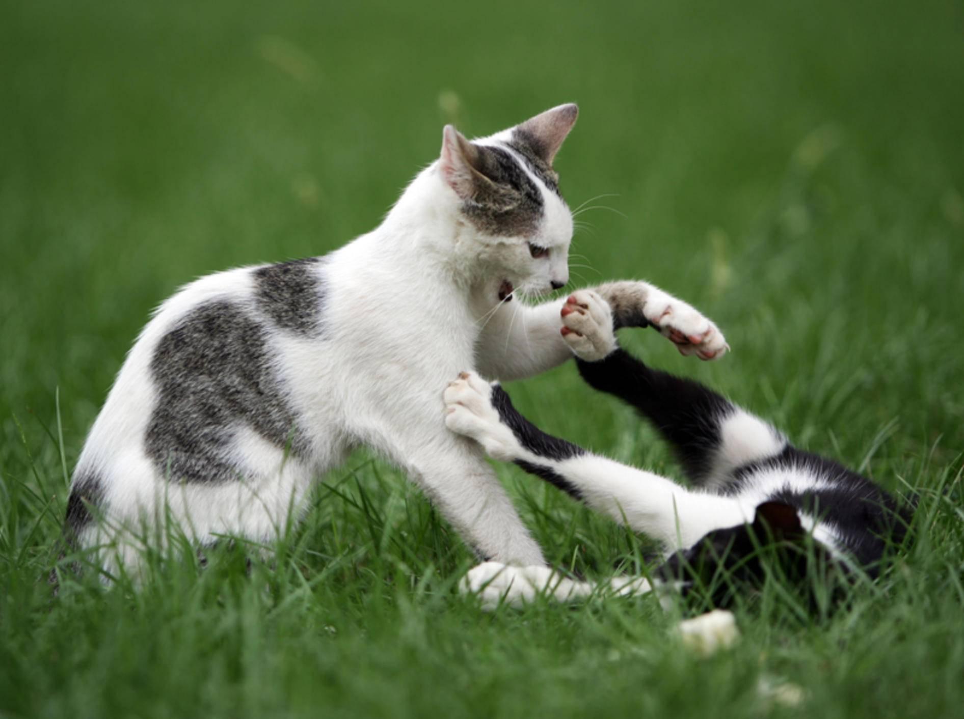 Katzen streiten nicht immer im offenen Kampf miteinander – Shutterstock / Hieronymus