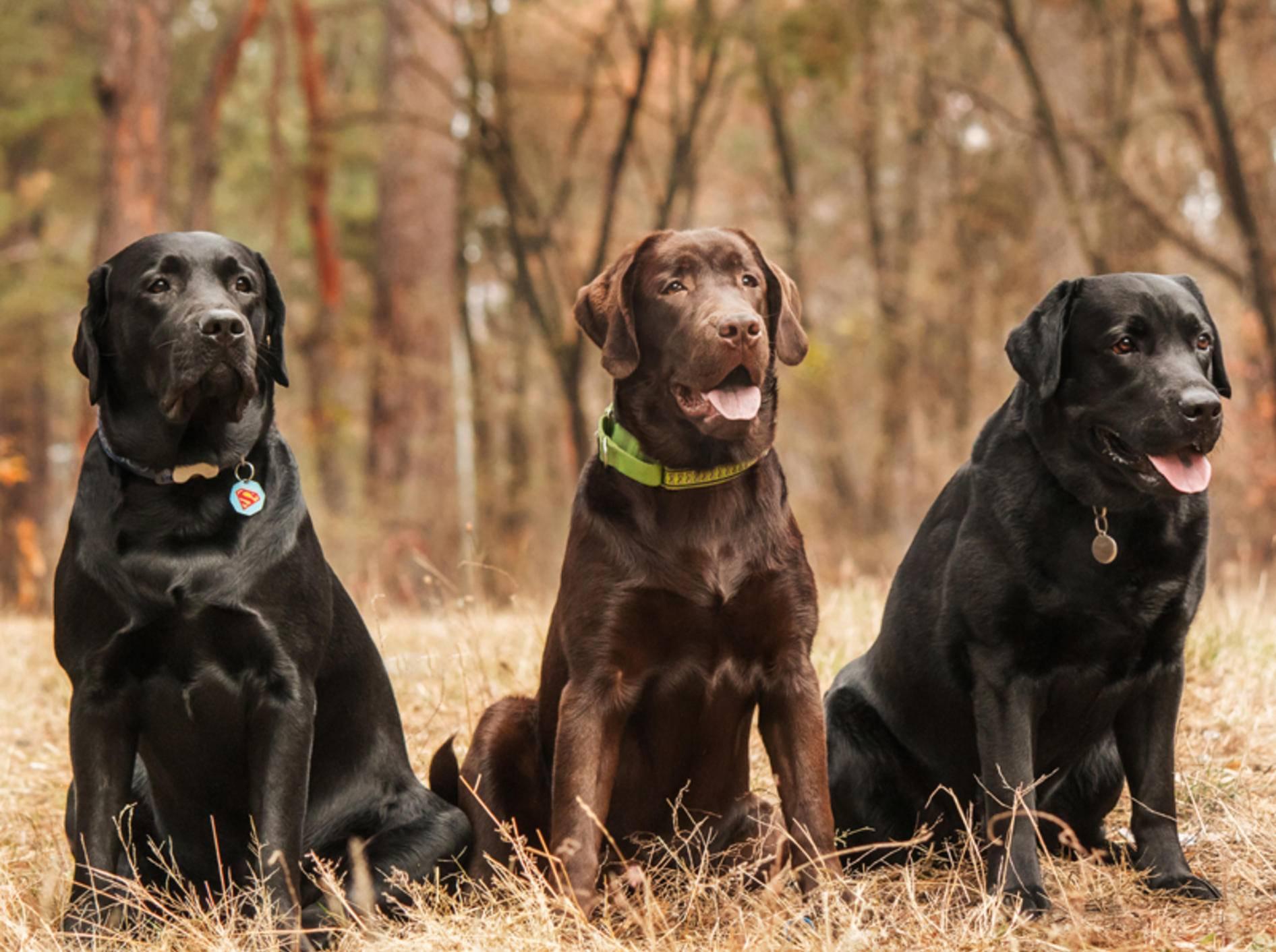 Beim Labrador Retriever gibt es neben unterschiedlichen Fellfarben auch verschiedene Zuchtlinien – Shutterstock / OlgaOvcharenko