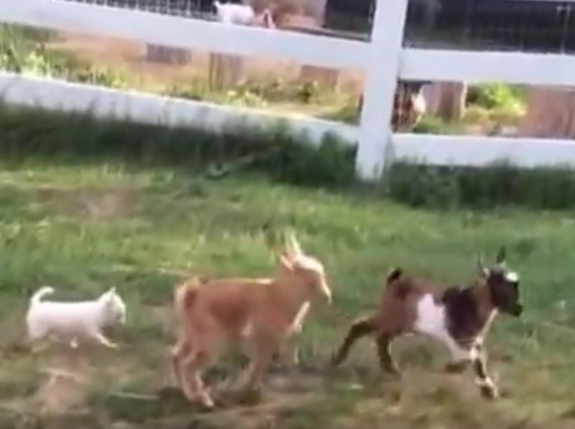 Lola tobt mit ihren Ziegenfreunden um die Wette – YouTube / Sunflower Farm Creamery