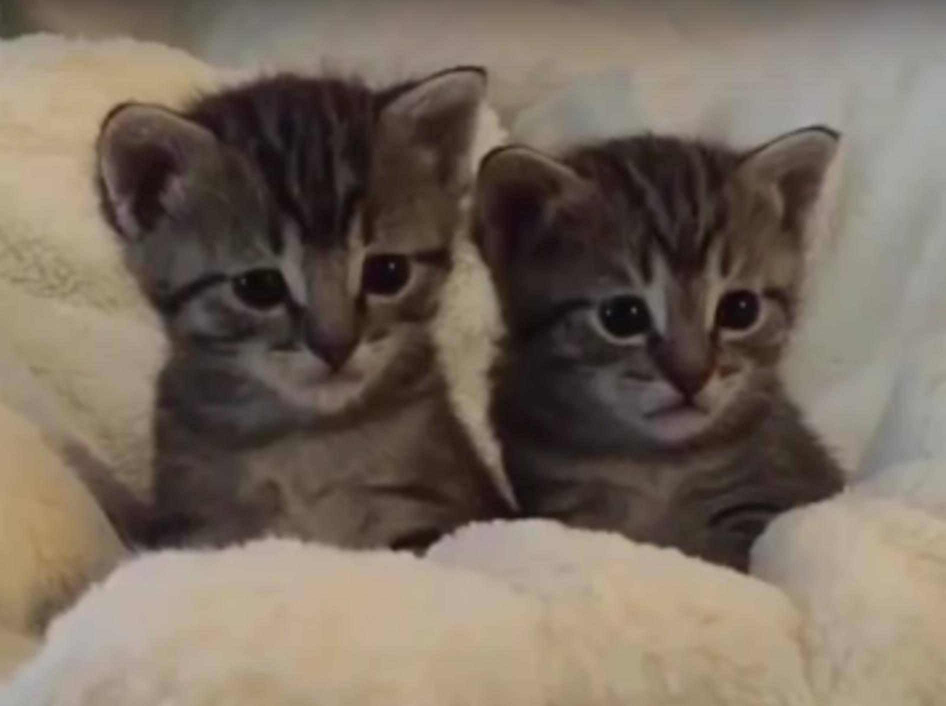 Wie niedlich diese beiden kleinen Kätzchen die Welt erst noch entdecken müssen – YouTube / foster kittens
