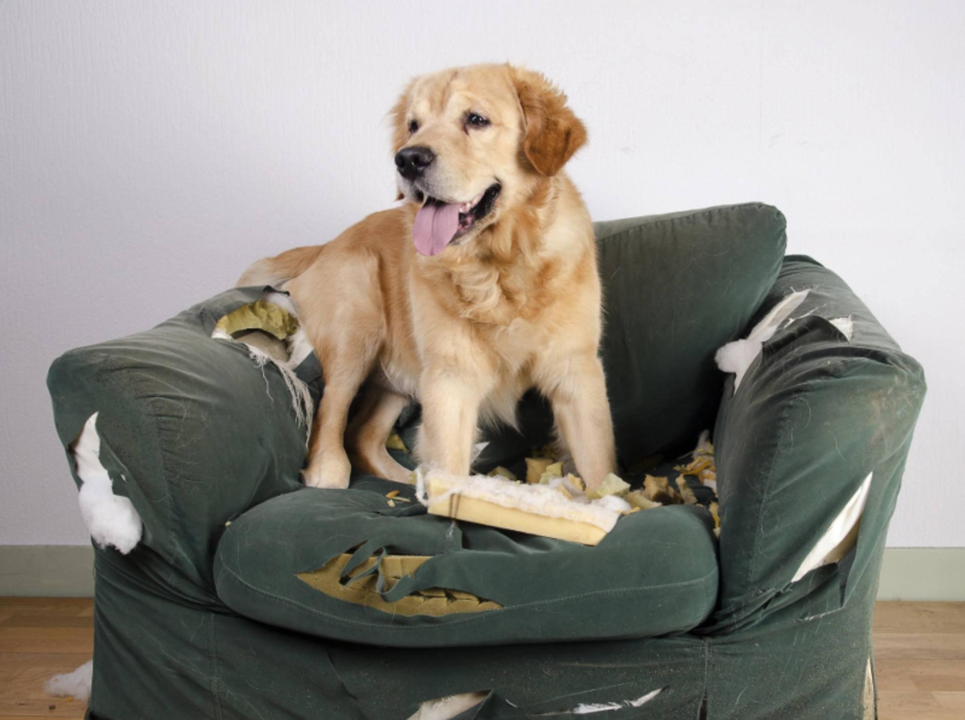 """""""Warum bist Du denn sauer? Gestern durfte ich doch noch auf den Sessel"""" – Konsequenz ist ein wichtiger Faktor in der Hundeerziehung – Shutterstock / Jeroen van den Broek"""
