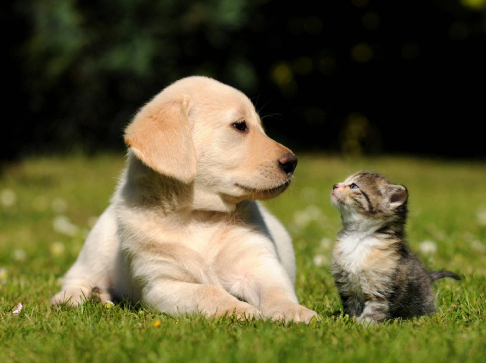 Missverstehen sich oft – können sich aber auch aufrichtig mögen: Hunde und Katzen – Shutterstock / schubbel