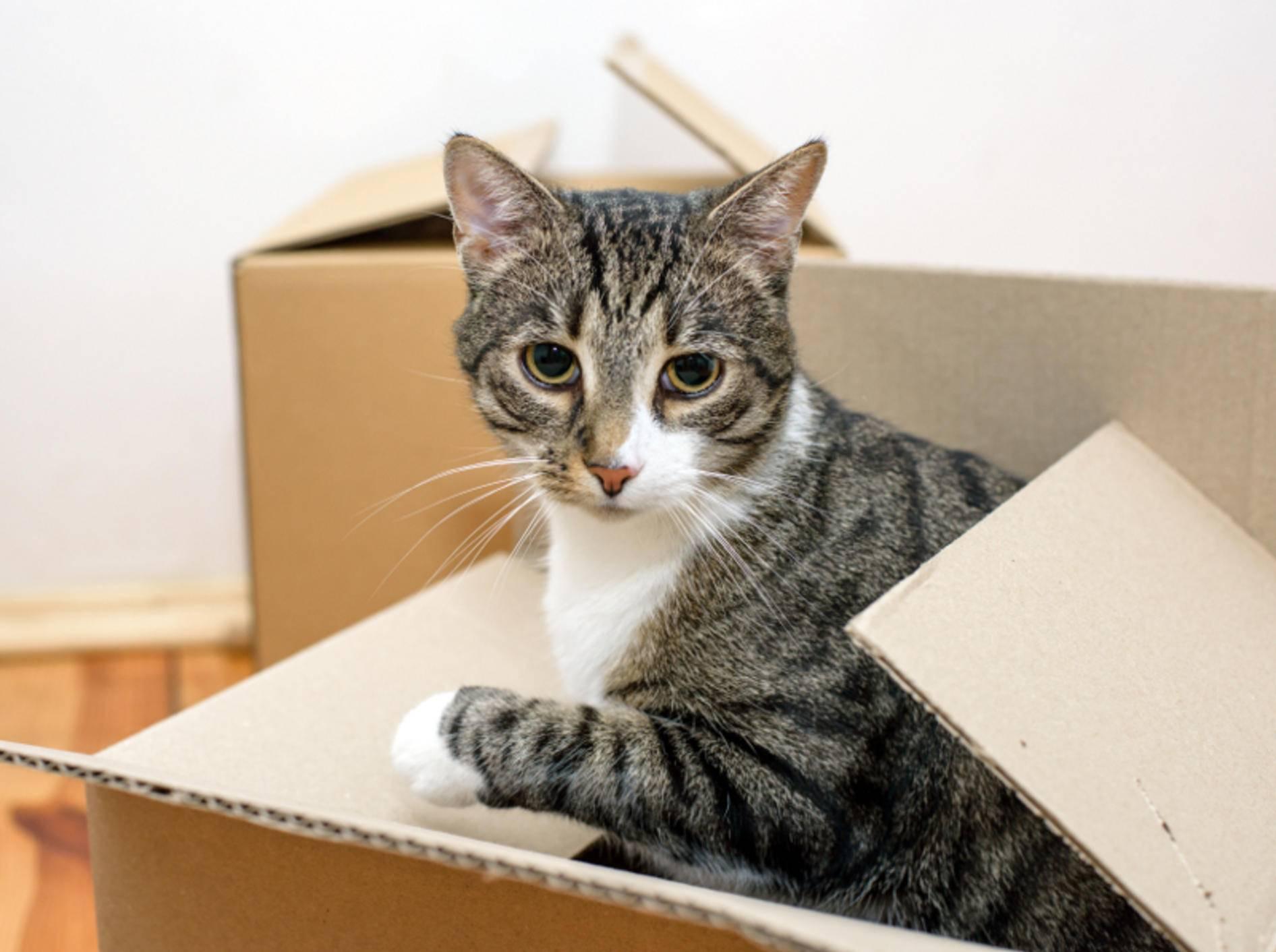 """""""Was, wir ziehen um? Hauptsache ich darf meinen Karton behalten!"""", denkt sich diese """"Kistenkatze"""" – Shutterstock / Vitaliy Hrabar"""