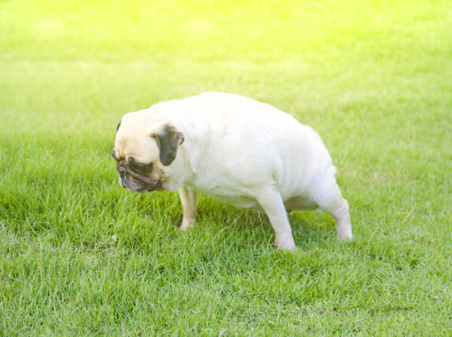 Häufiges Wasserlassen ist ein typisches Anzeichen für eine Blasenentzündung bei Hunden – Shutterstock / fongleon356