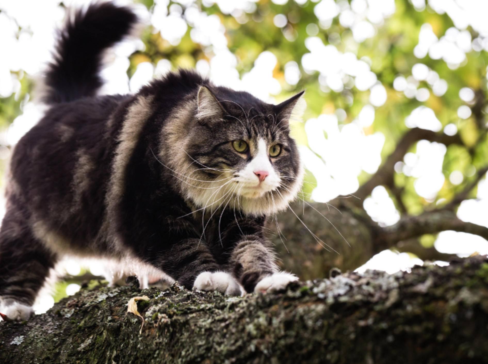 Stattlich, robust und mit einem Hauch des Wilden umgeben – die zu den Naturrassen zählende Norwegische Waldkatze – Shutterstock / Jan Faukner