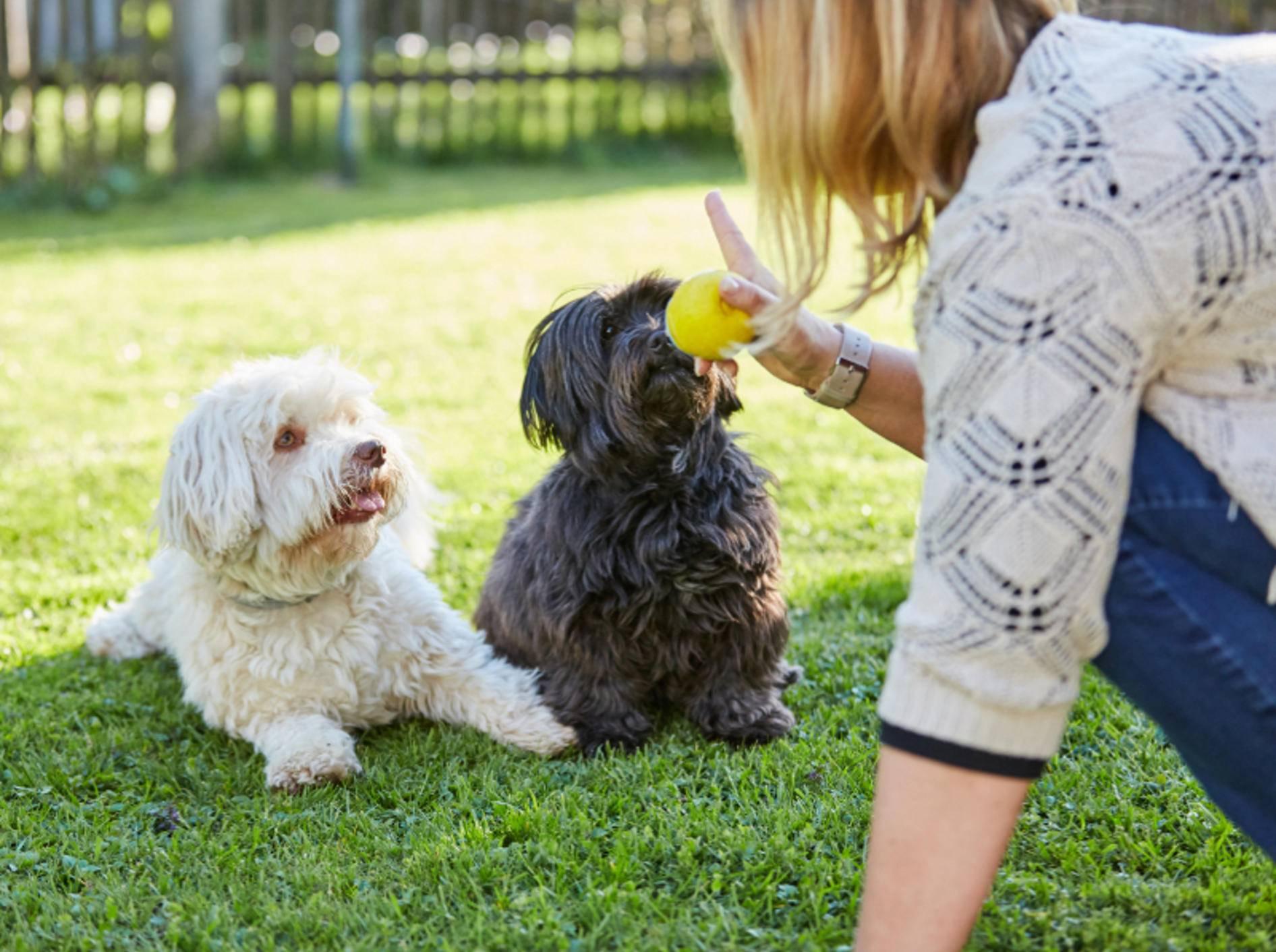 Wenn Hunde nicht warten beziehungsweise zu früh Apportieren und Sie den Ball dann einfach wegnehmen, ist dies auch eine Form von negativer Verstärkung – Shutterstock / Peter Mayer Fotos