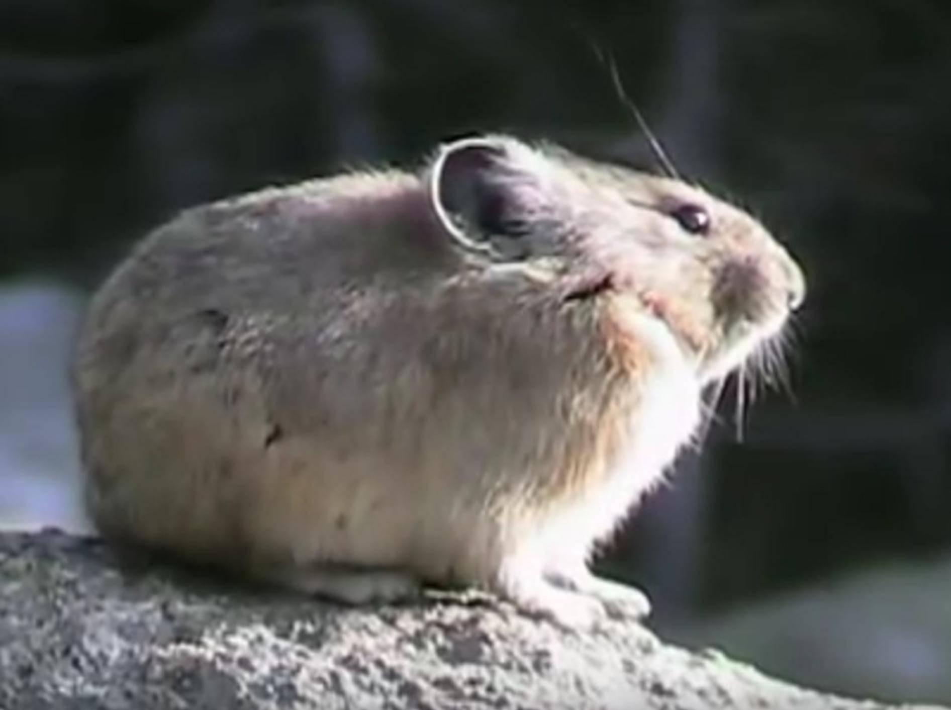 Die süßen amerikanischen Pfeifhasen sitzen oft stundenlang auf ihren Felsen in der Sonne – YouTube / Wandering Sole Images