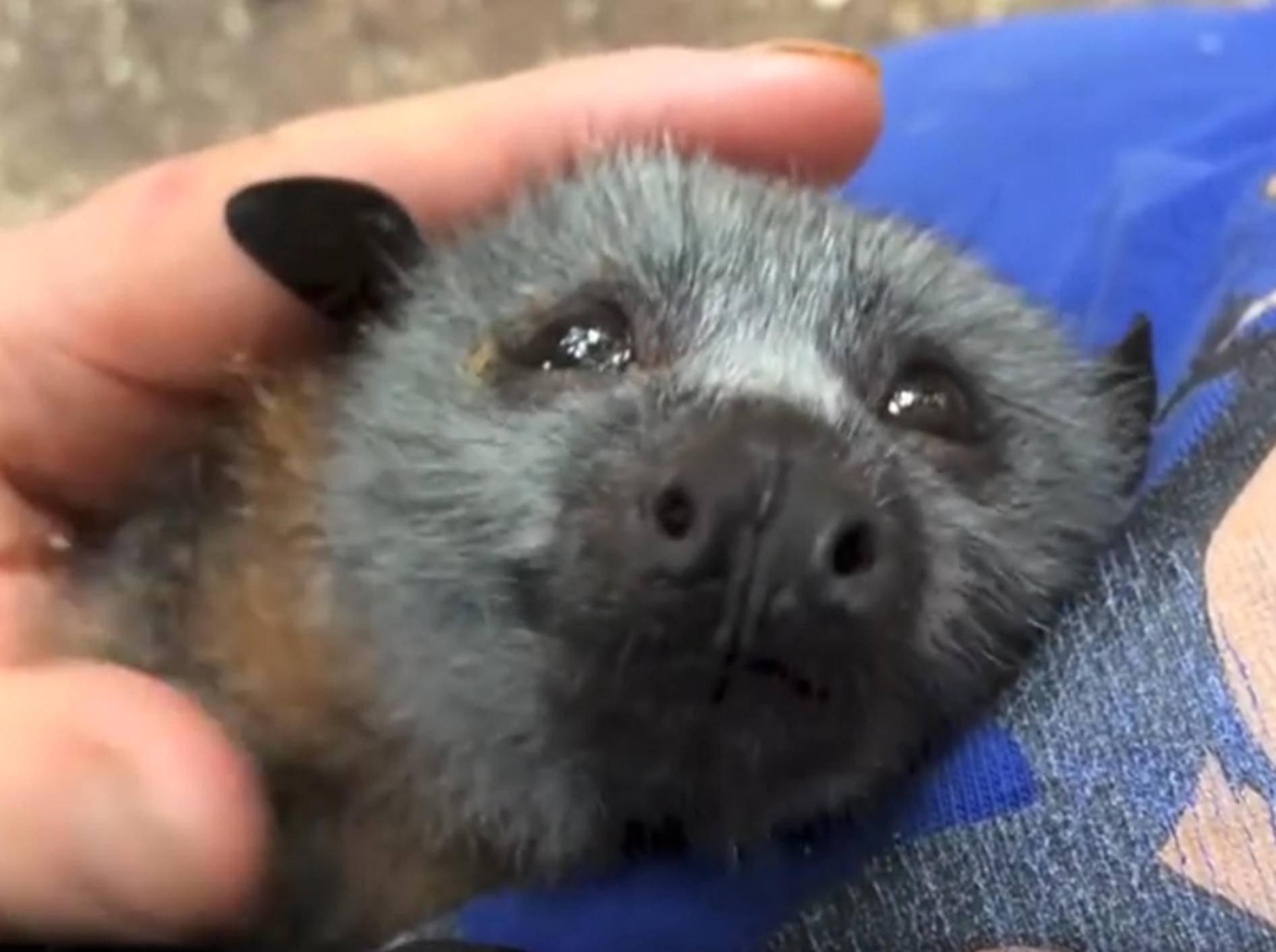 Baby-Fledermaus quiekt beim Kuscheln – YouTube / Megabattie