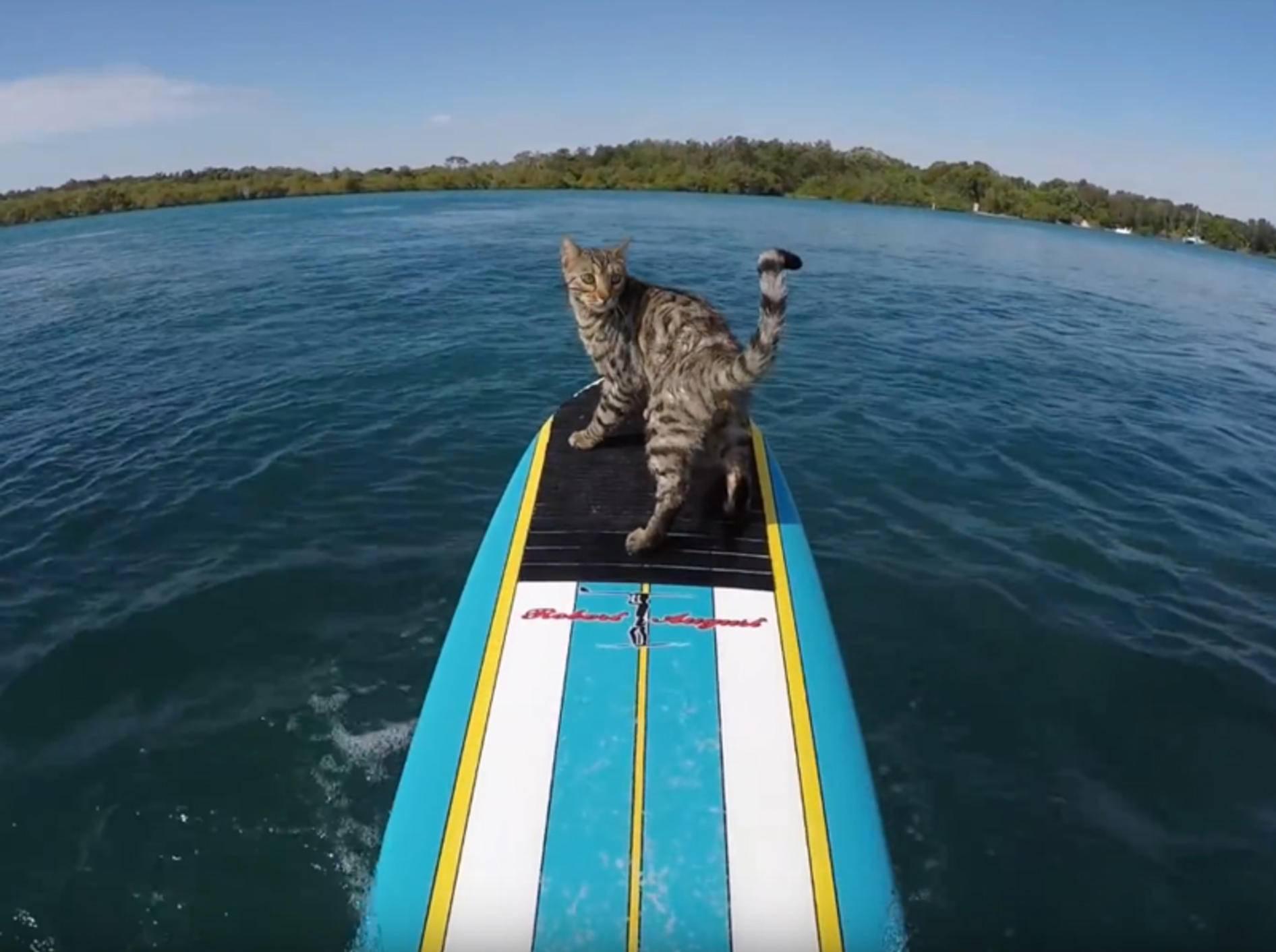 Bengalkaterchen Boomer: Surfen kann er auch noch! – YouTube / CATMANTOO