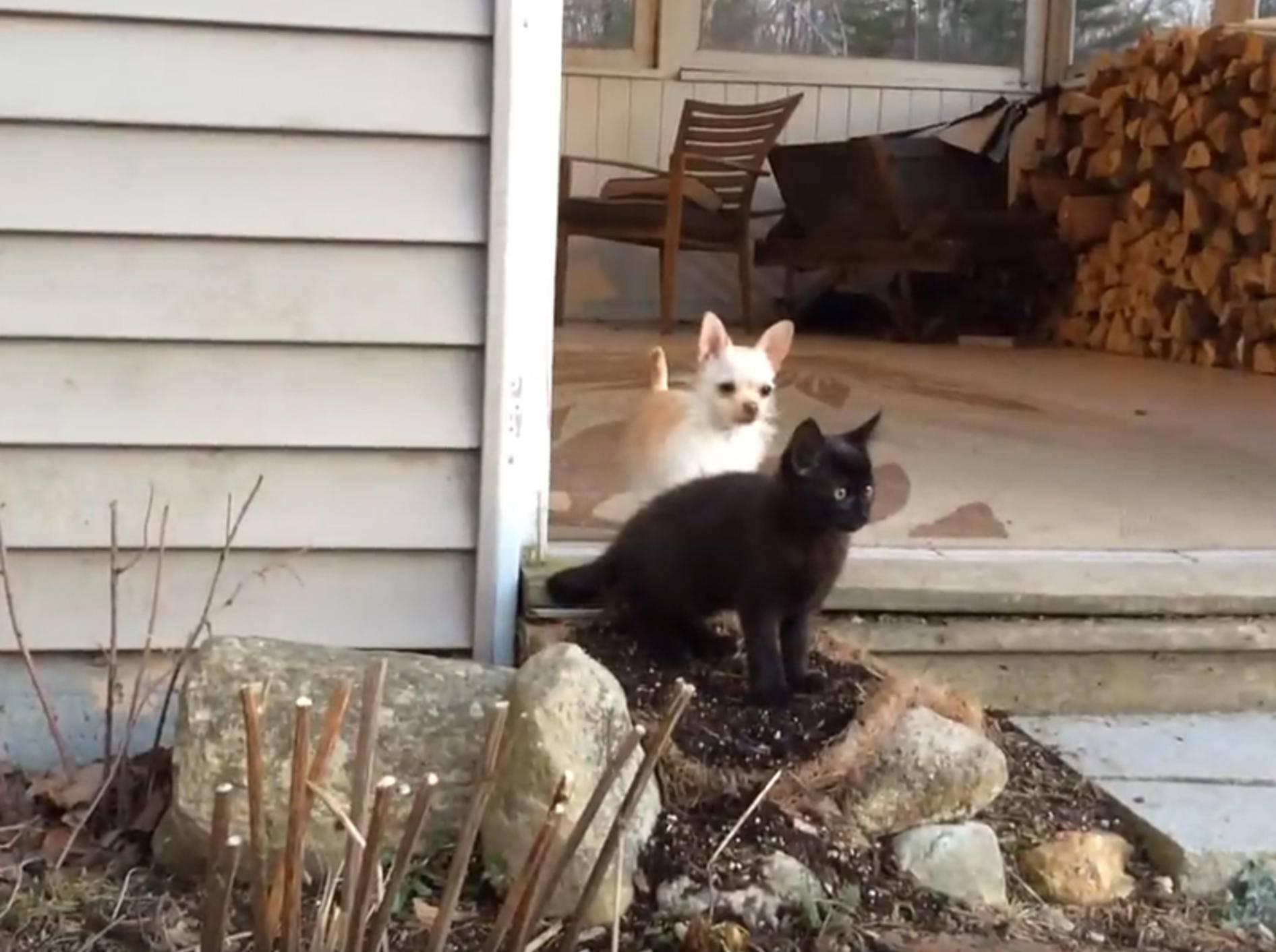 Chihuahua Lola hat Spaß mit ihren Kätzchenfreunden – YouTube / Sunflower Farm Creamery