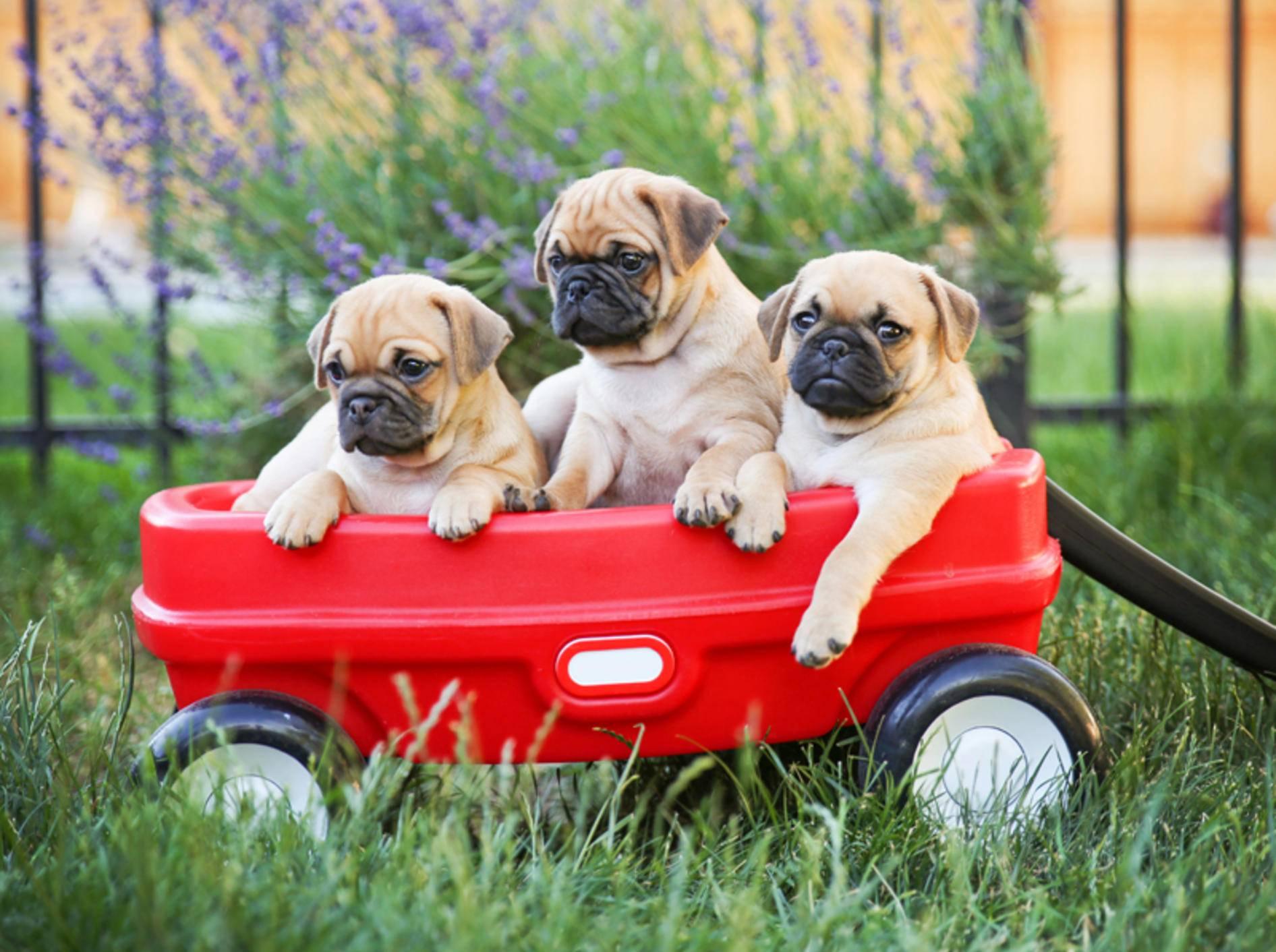 Beim Retro-Mops wird versucht, die Schnauze wieder länger zu züchten, damit die Hunde besser atmen können – Shutterstock / Annette Shaff