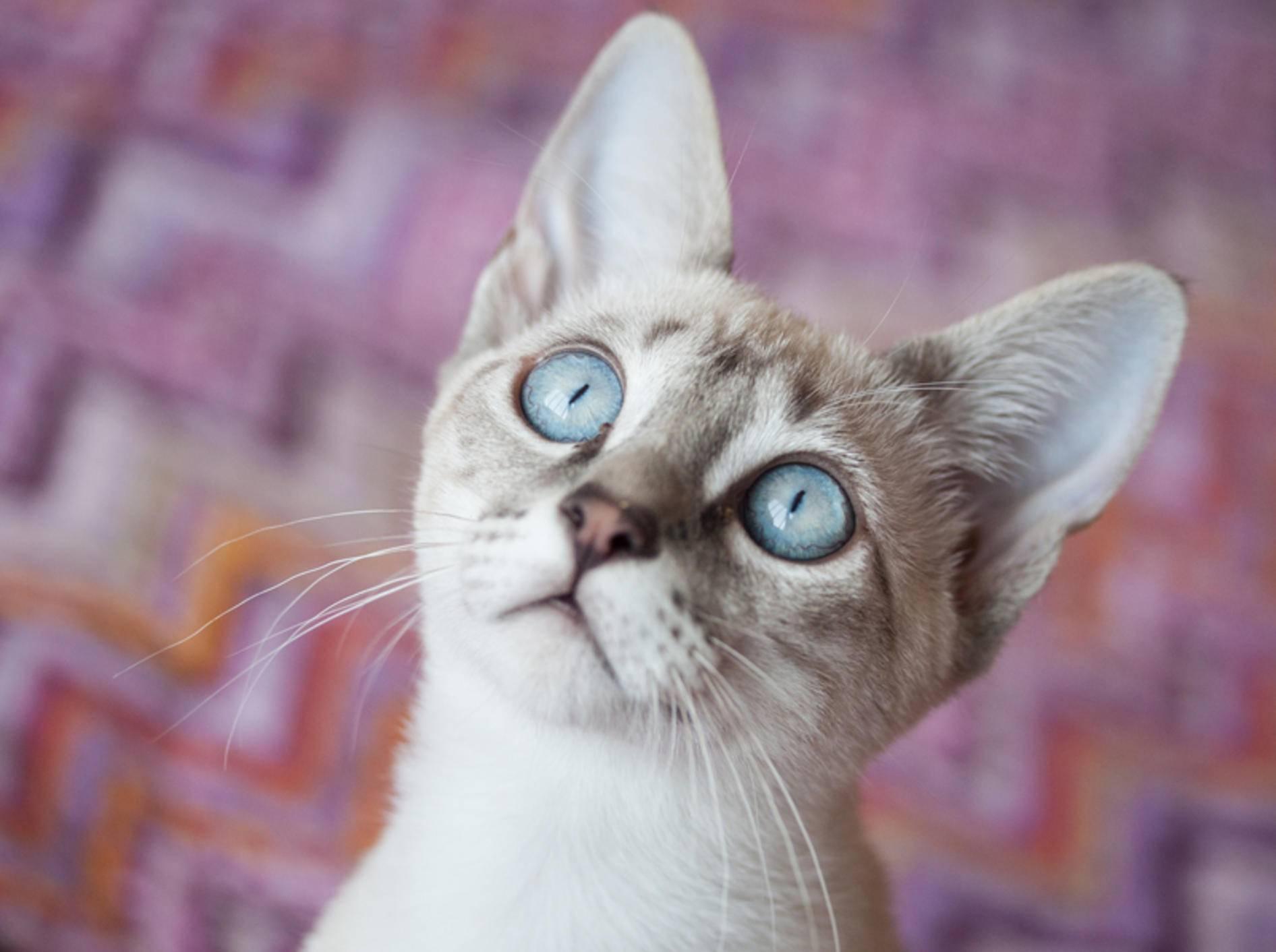"""""""Ui, Beute!"""": Diese hübsche Point-Katze mit ihren eisblauen Augen scheint in Spiellaune zu sein – Shutterstock / Talita Nicolielo"""