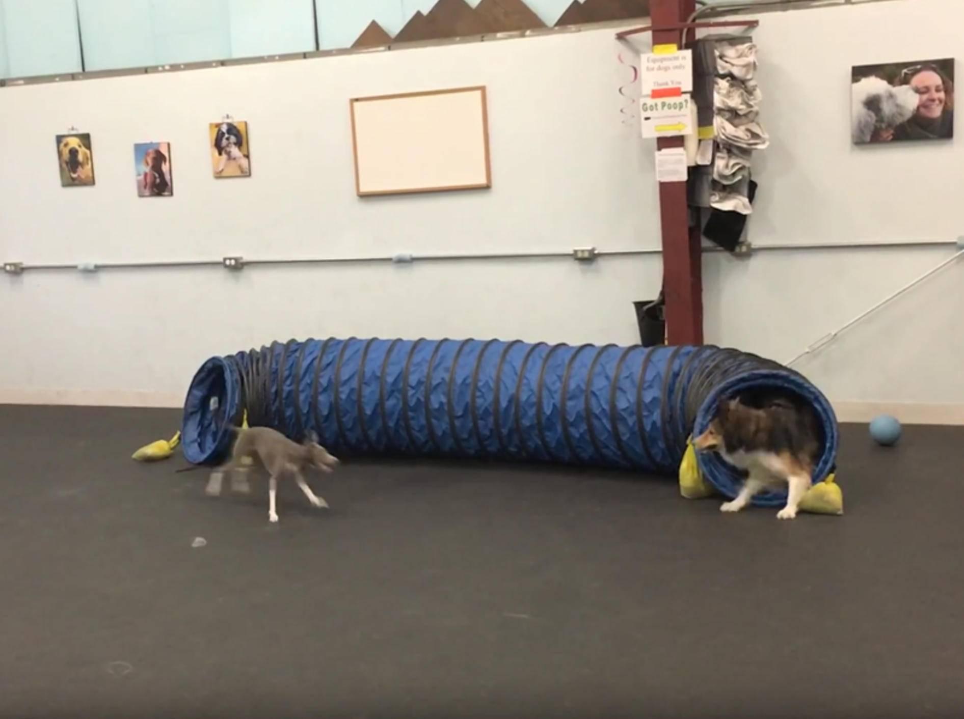 Italienisches Windspiel Penelope spielt Fangen mit Hundekumpel – YouTube / Matt Buckmaster