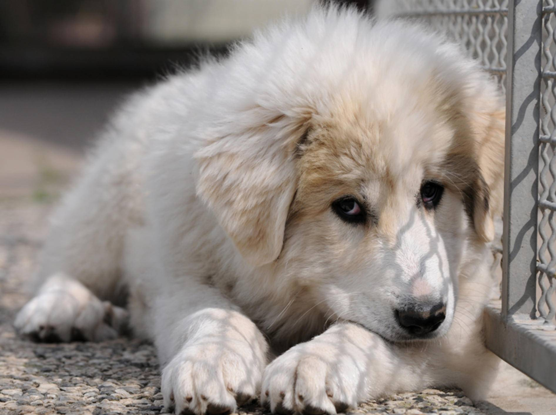 Der Pyrenäenberghund sieht zwar plüschig und niedlich aus, doch auch er ist ein Herdenschutzhund, der einen erfahrenen Hundehalter braucht – Shutterstock / Schubbel