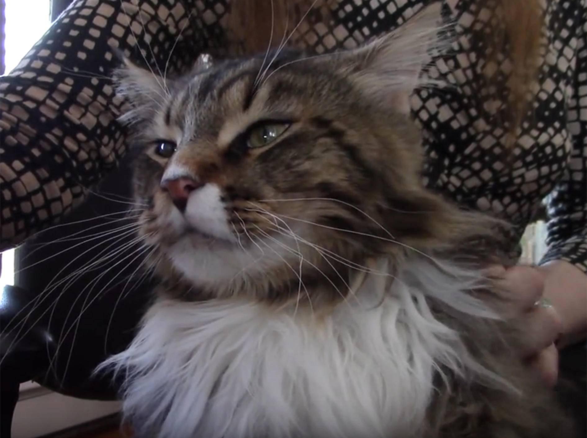 Maine-Coon-Katze wird massiert und findet das wunderbar – YouTube / jzathey