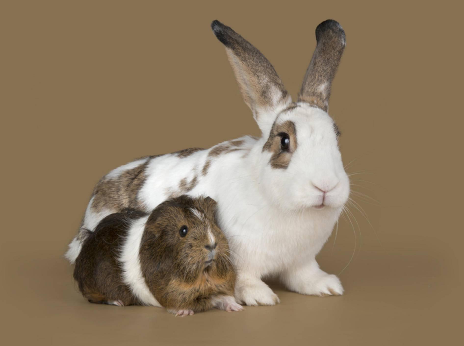 Meerschweinchen und Kaninchen kommunizieren auf ganz unterschiedliche Art und Weise – Shutterstock / photos2013
