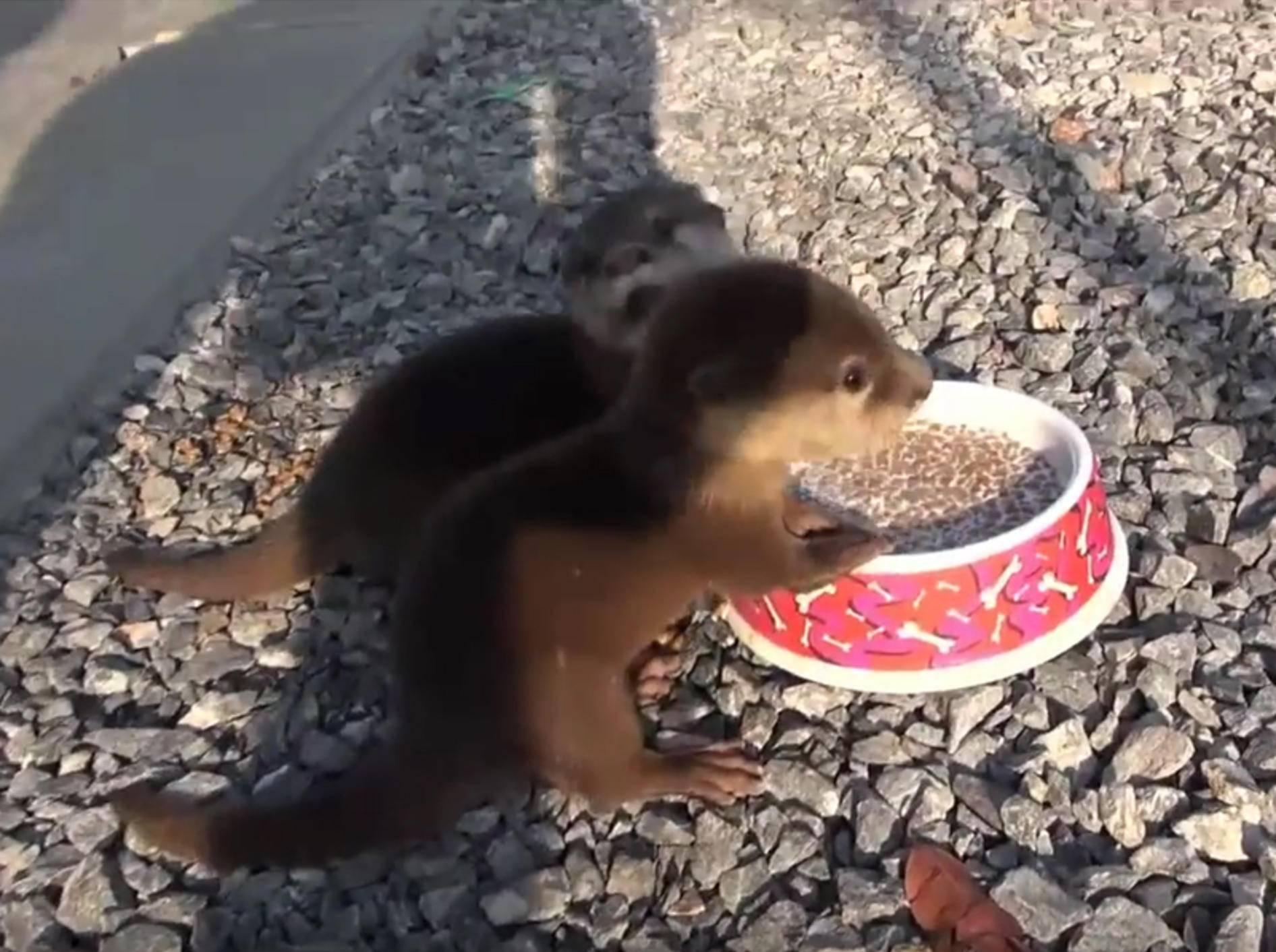 Otterbabys quieken fröhlich, weil ihnen ihr Essen so gut schmeckt – YouTube / FRANK CUESTA - CANAL YOUTUBE
