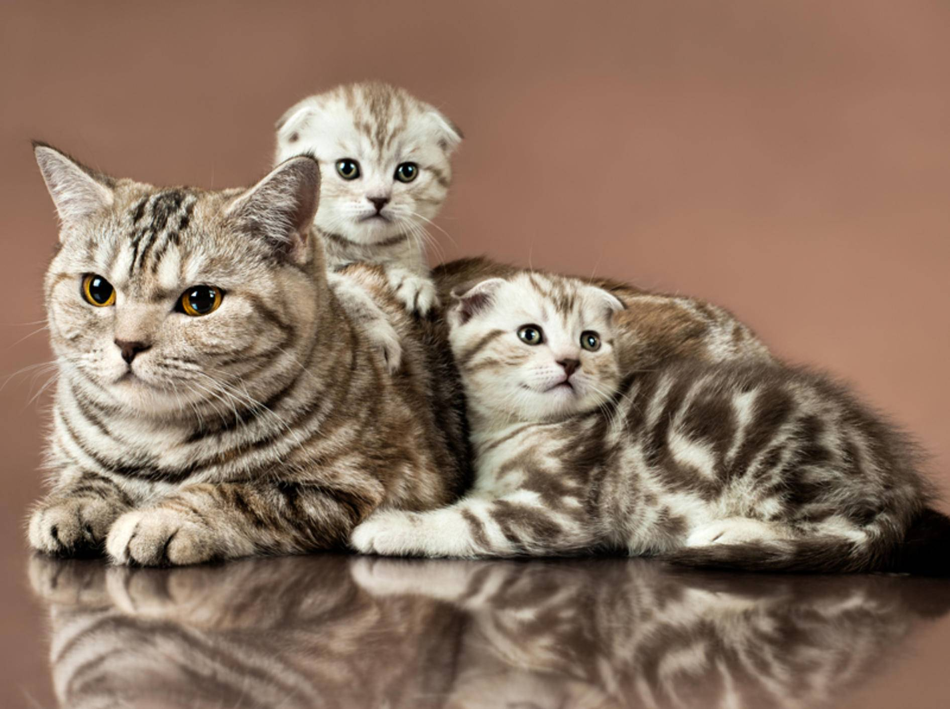 Wer Katzen züchten will, sollte sich genau über die gewünschte Katzenrasse (hier eine Scottish Fold Katze mit ihren Babys) und ihre Bedürfnisse informieren – Shutterstock / tankist276