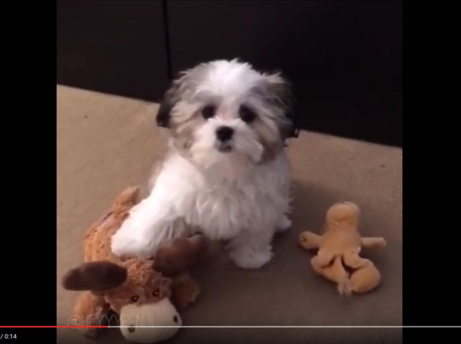 Wuscheliger Puschelhund Benji liebt seinen Plüschelch – YouTube / HeyyyBenji Official