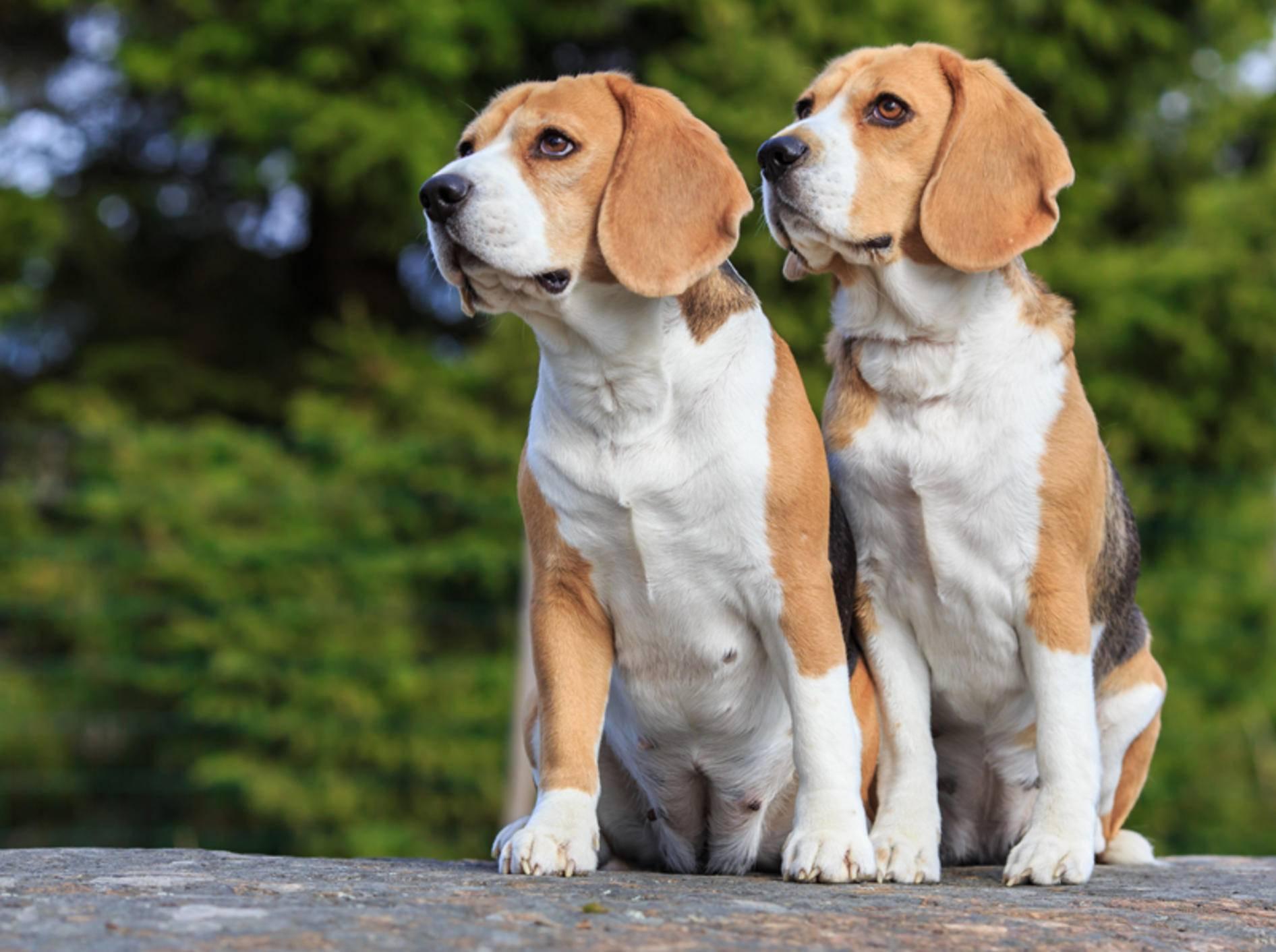 Beagle sind neugierig und gesellig; für ihre Gesundheit brauchen sie Beschäftigung und einen Hundekumpel – Shutterstock / Ann-Britt