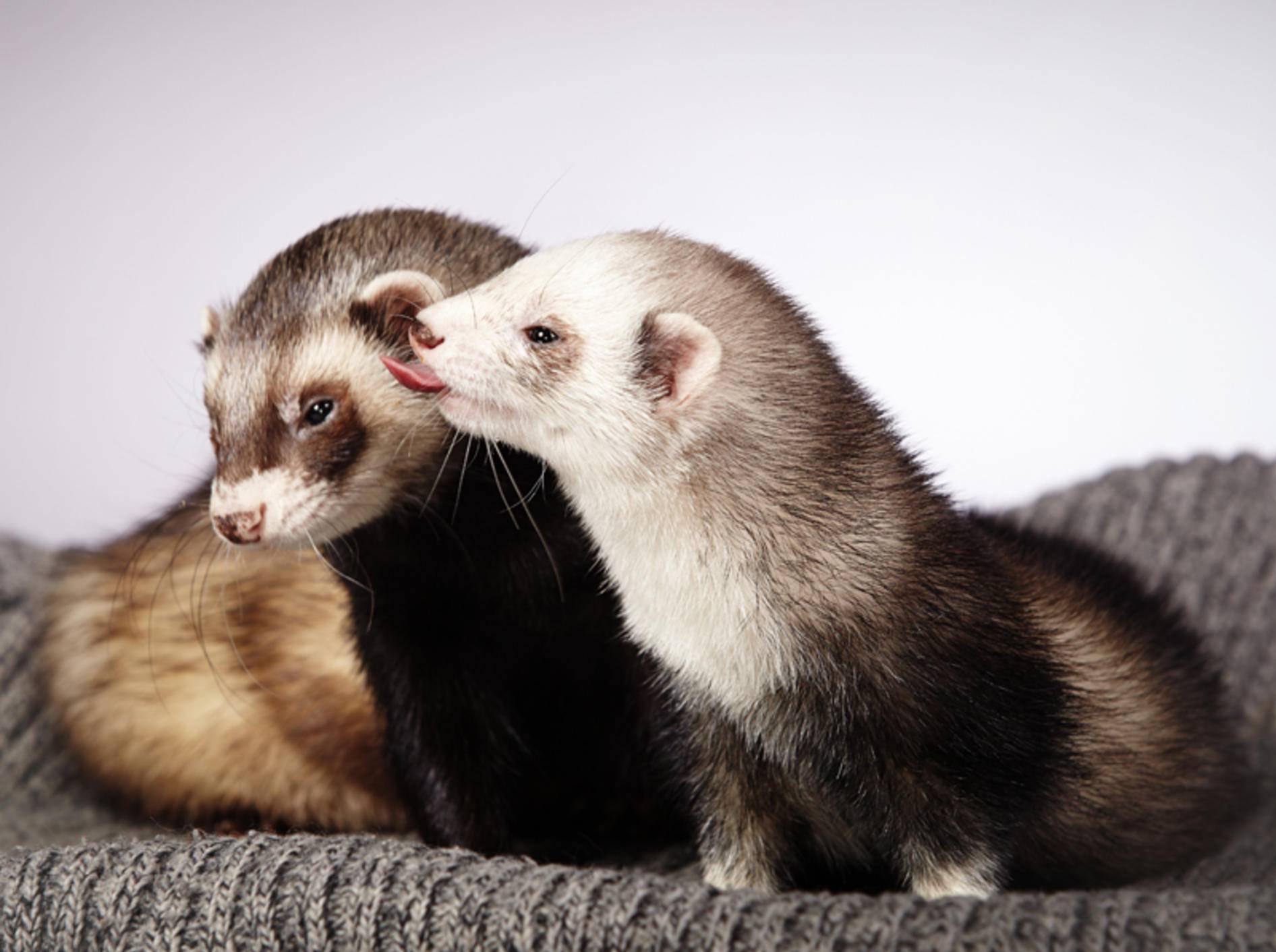 Frettchen Als Haustier Wichtige Infos Vor Der Anschaffung