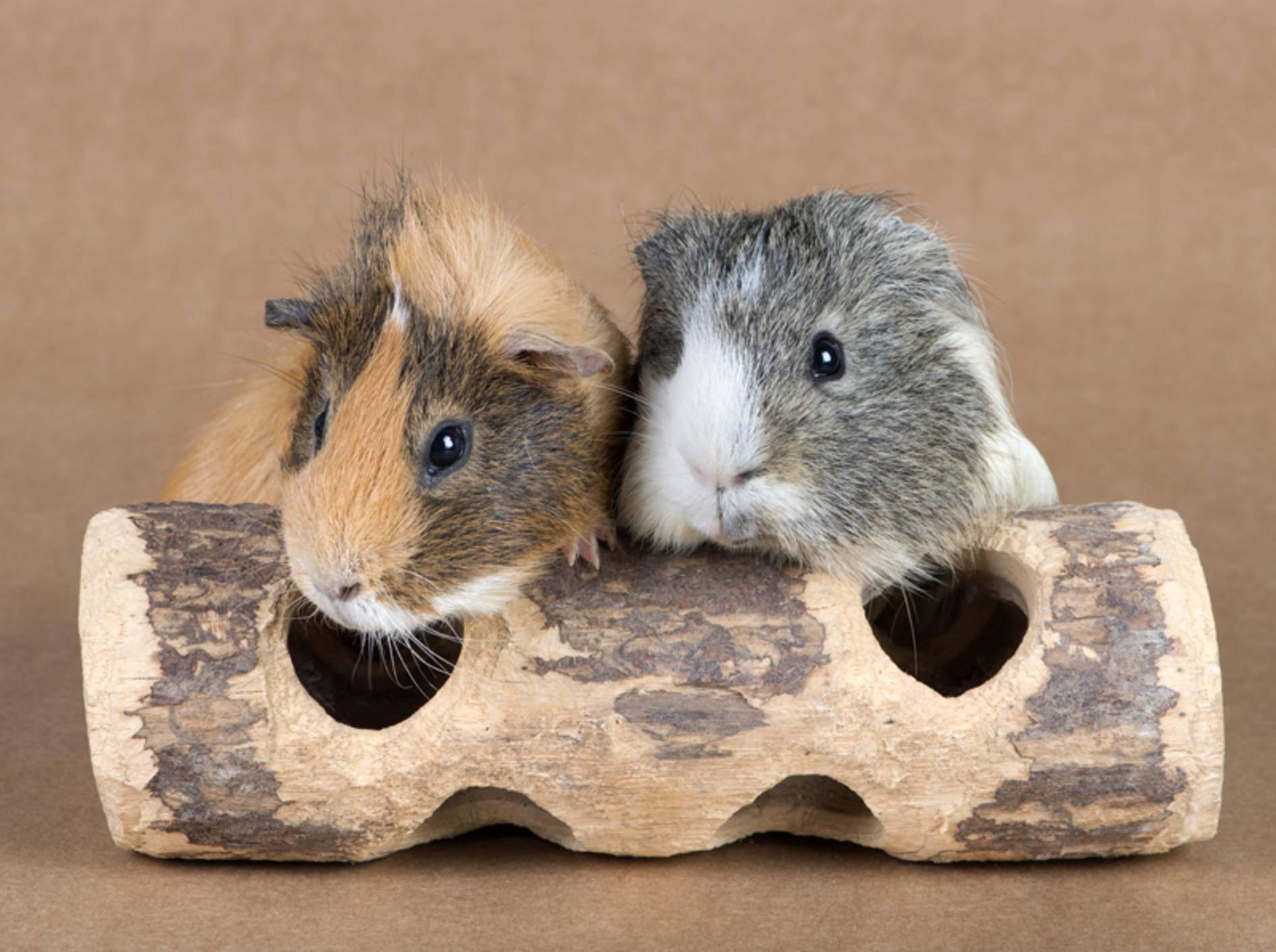Ein Meerschwein ist ungern allein – Shutterstock / photos2013