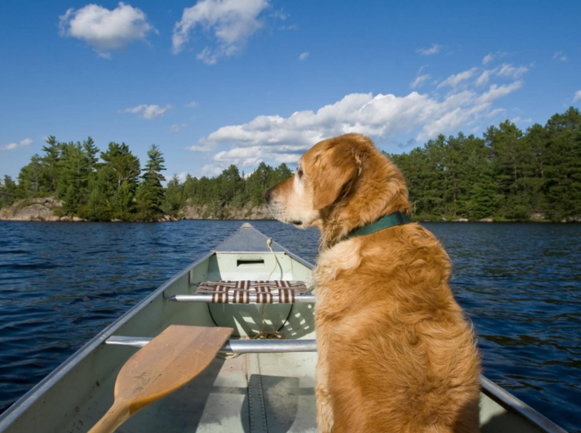 Die meisten Hunde mögen das Kanufahren, vor allem wasserliebende Ratten wie Retriever – Shutterstock / Kris Holland