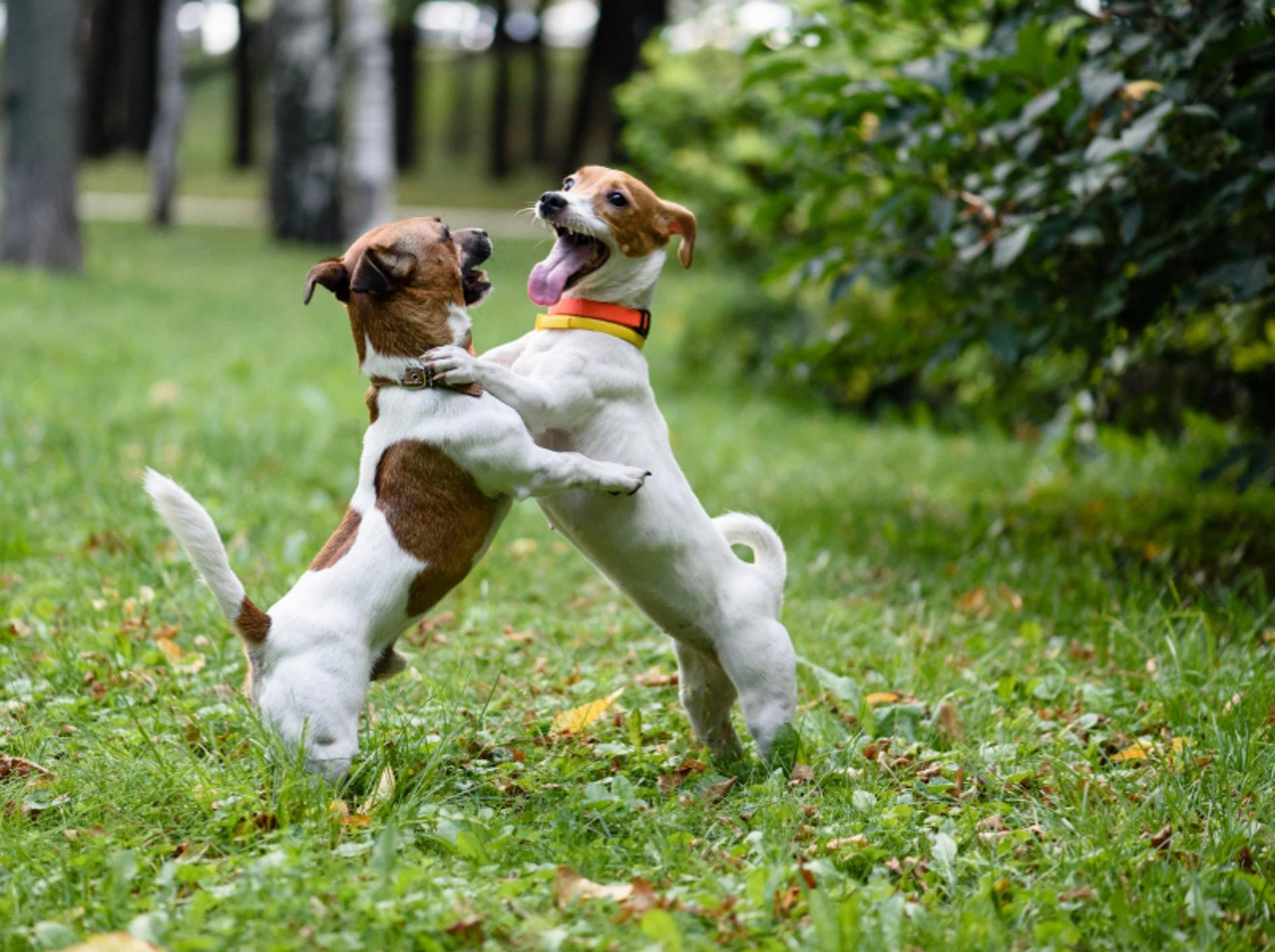 Das Spielen ist eine wichtige Kommunikationsform von Hunden, die die Vierbeiner super auslastet – Shutterstock / alexei_tm