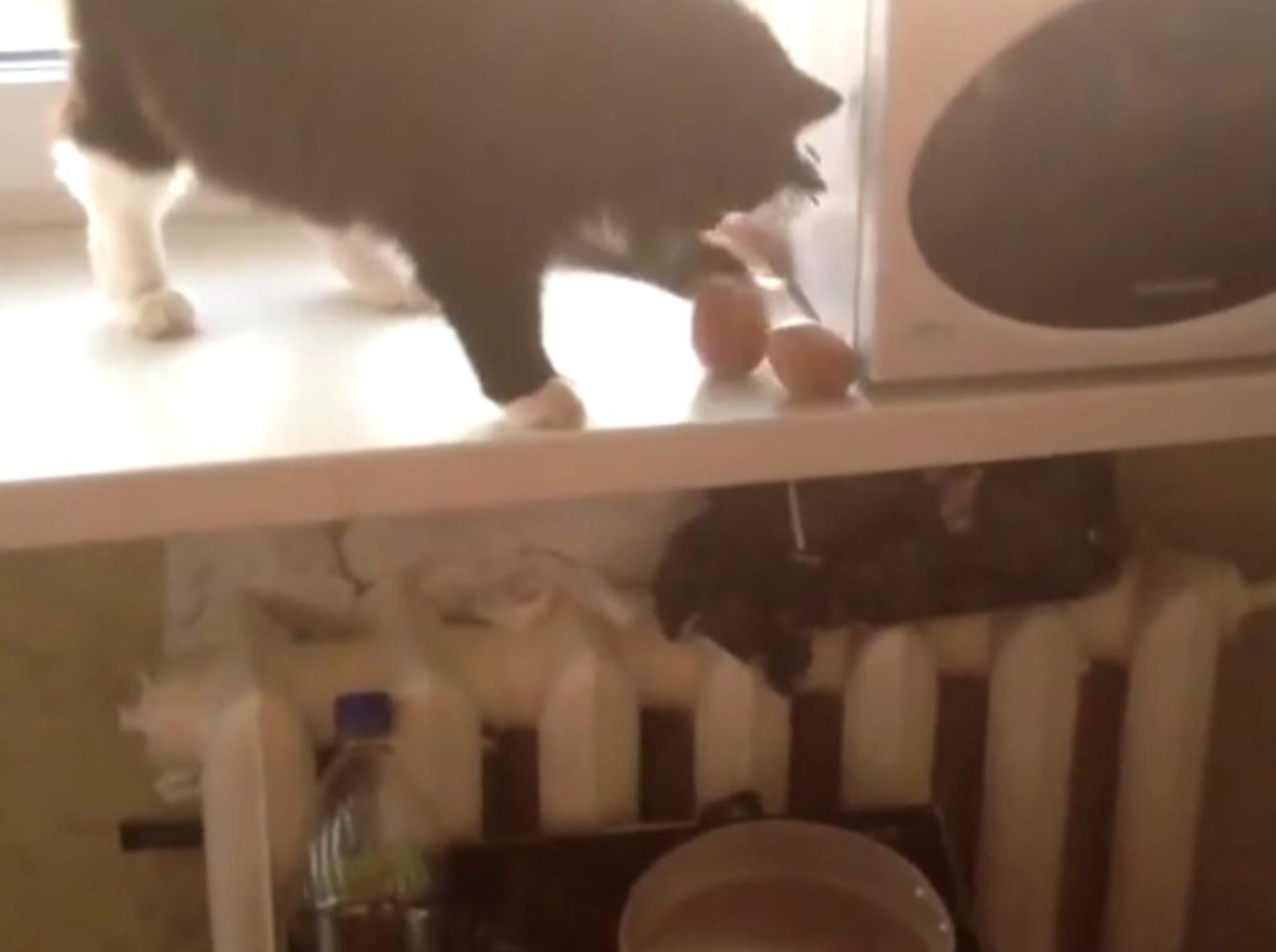 Geschickt wirft diese Katze Kartoffeln von der Fensterbank in den Topf – YouTube / ignoramusky