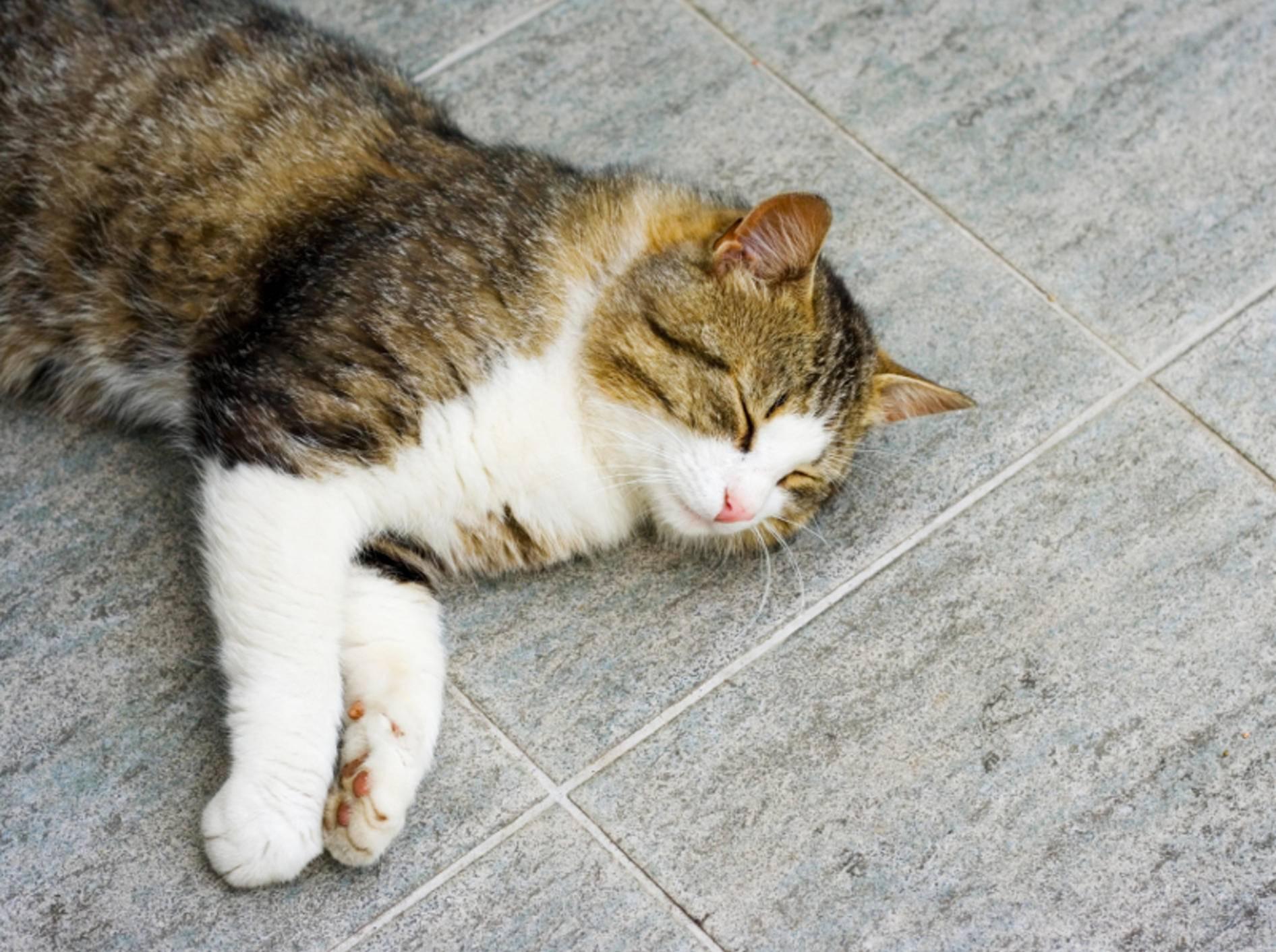 Kühle Fliesen sind für Katzen ein beliebter Ort zum Verweilen im Hochsommer – Shutterstock / Andrei Nekrassov