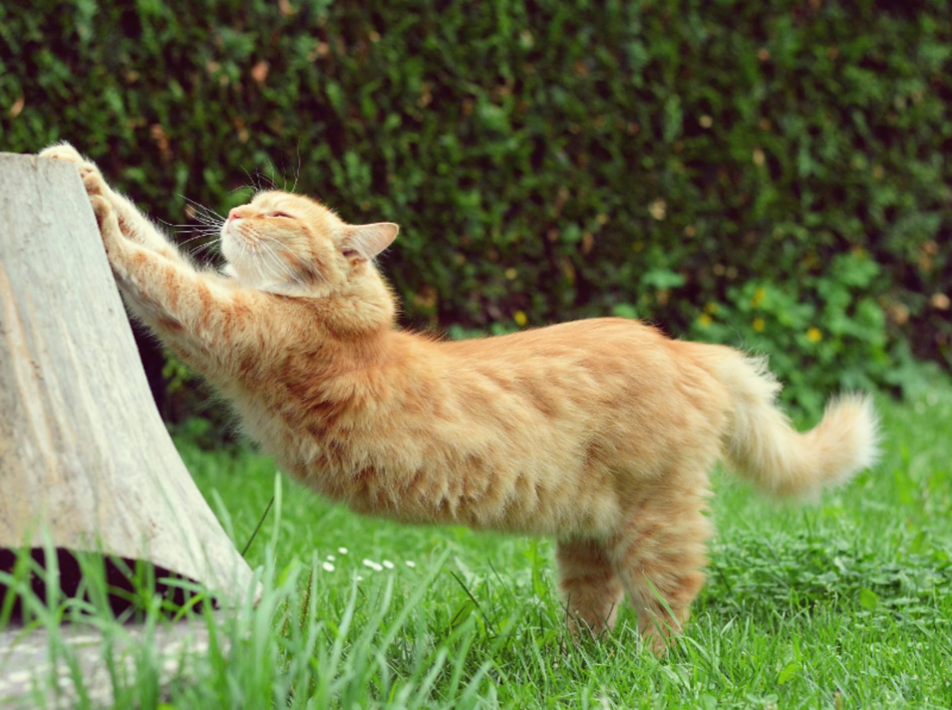 So ein faszinierender Bewegungsapparat will gut gedehnt sein! Katzen sind richtige Athleten – Shutterstock / DavidTB