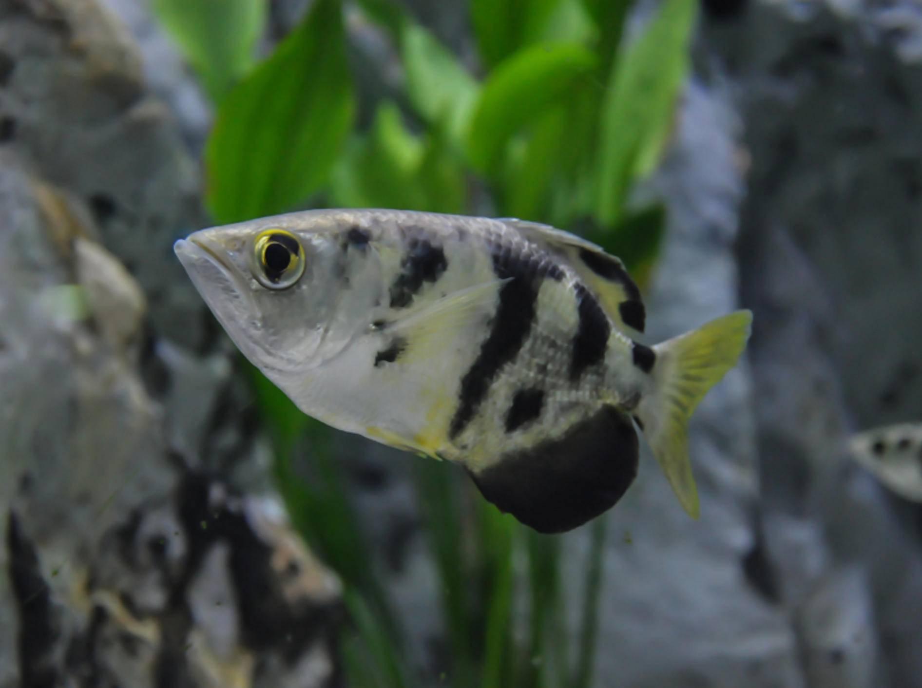 """Krasser Typ! Schützenfische können nicht nur zielgenau """"schießen"""", sondern auch zielgenau Gesichter unterscheiden – Shutterstock / blackbit17"""