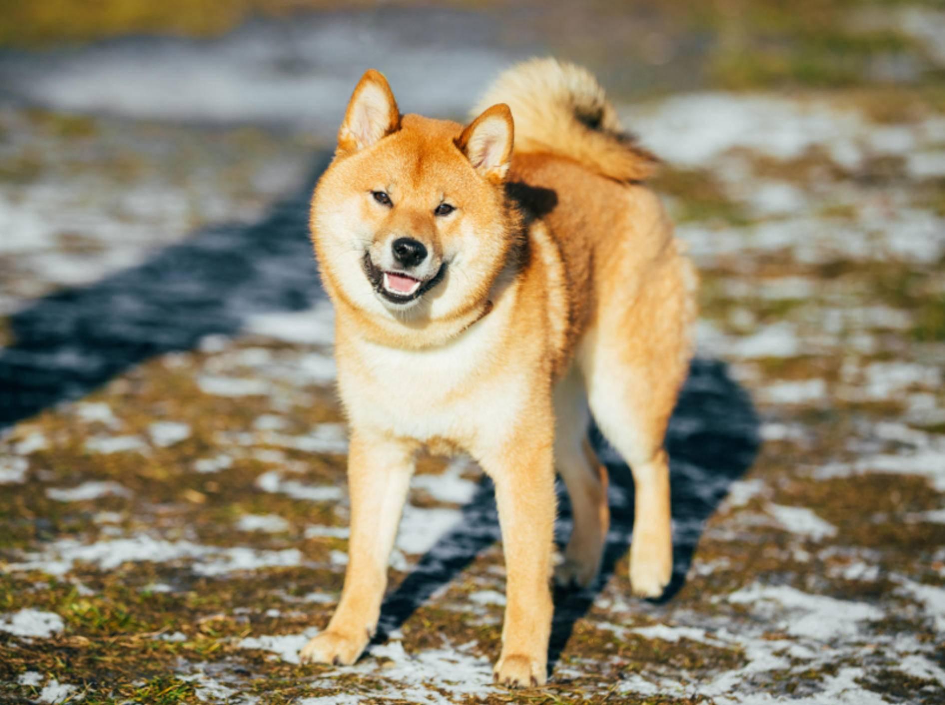 Eine starke Persönlichkeit, ein starker Hund: Der Shiba Inu aus Japan, seines Zeichens Naturdenkmal – Shutterstock / Grisha Bruev