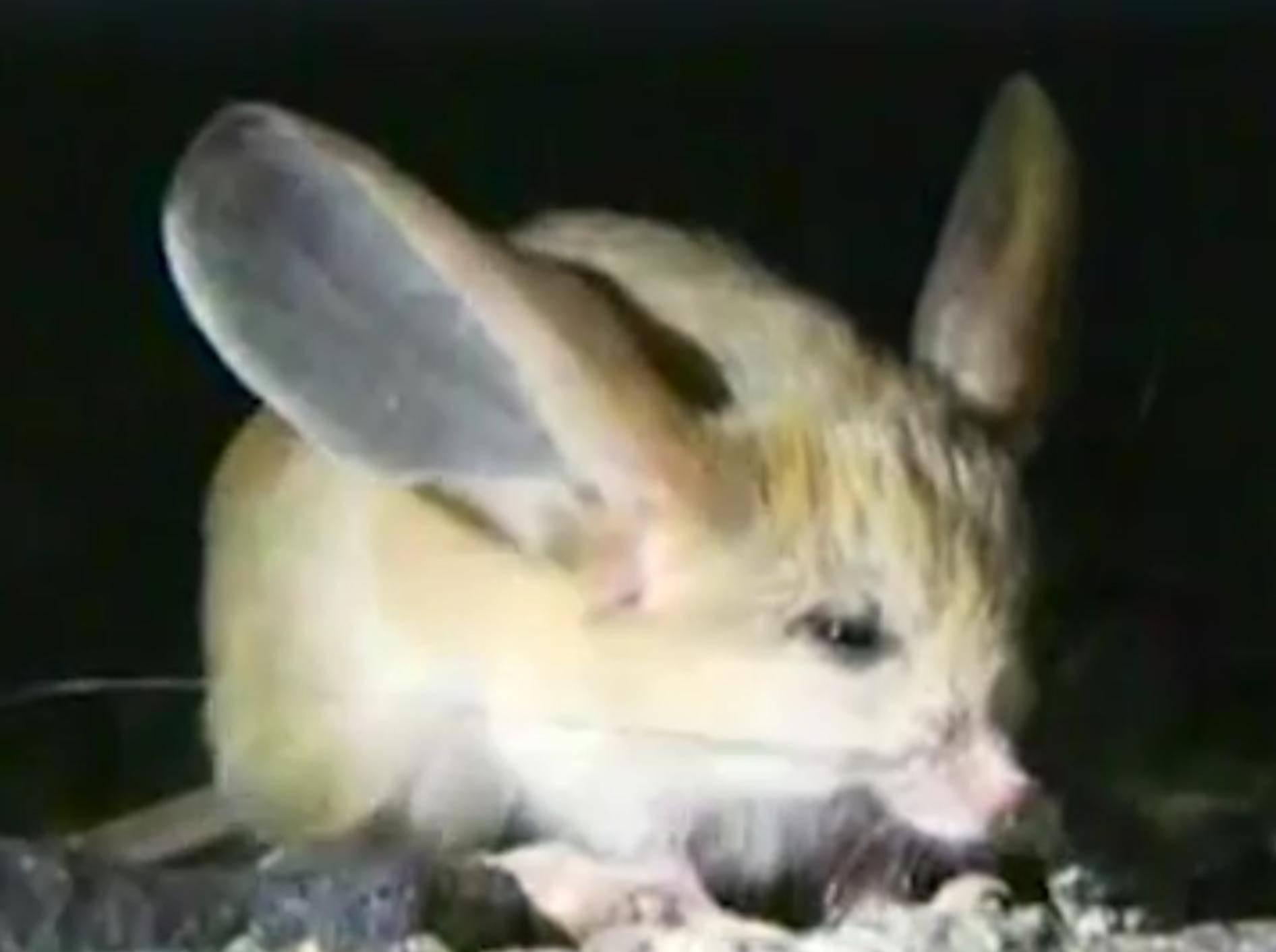 Springmäuse haben riiiiiesige Ohren und sind einfach nur zuckersüß – YouTube / The Dodo