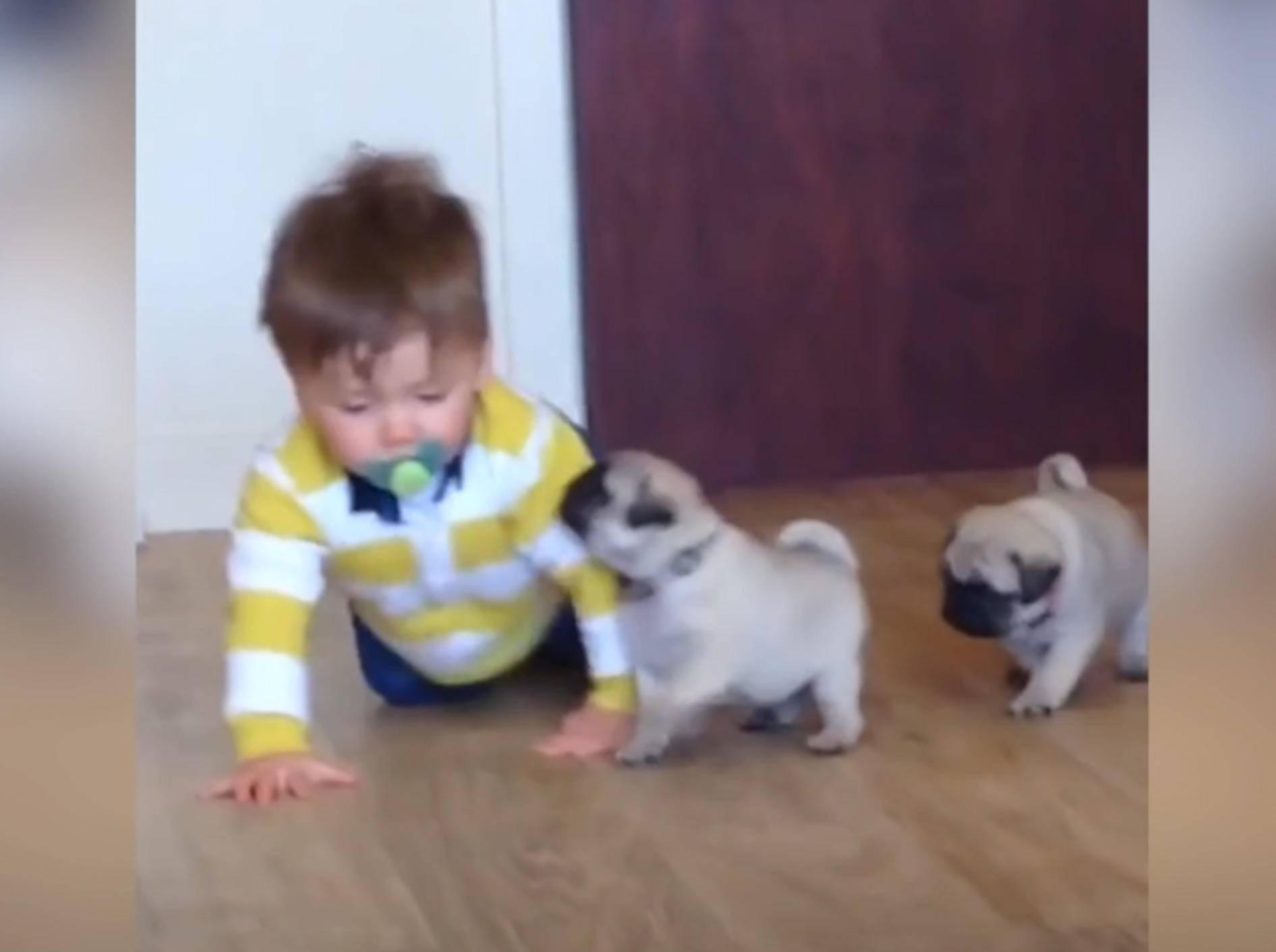Baby Louie und Mopswelpen sind allerbeste Kumpels – YouTube / ABC Television Stations