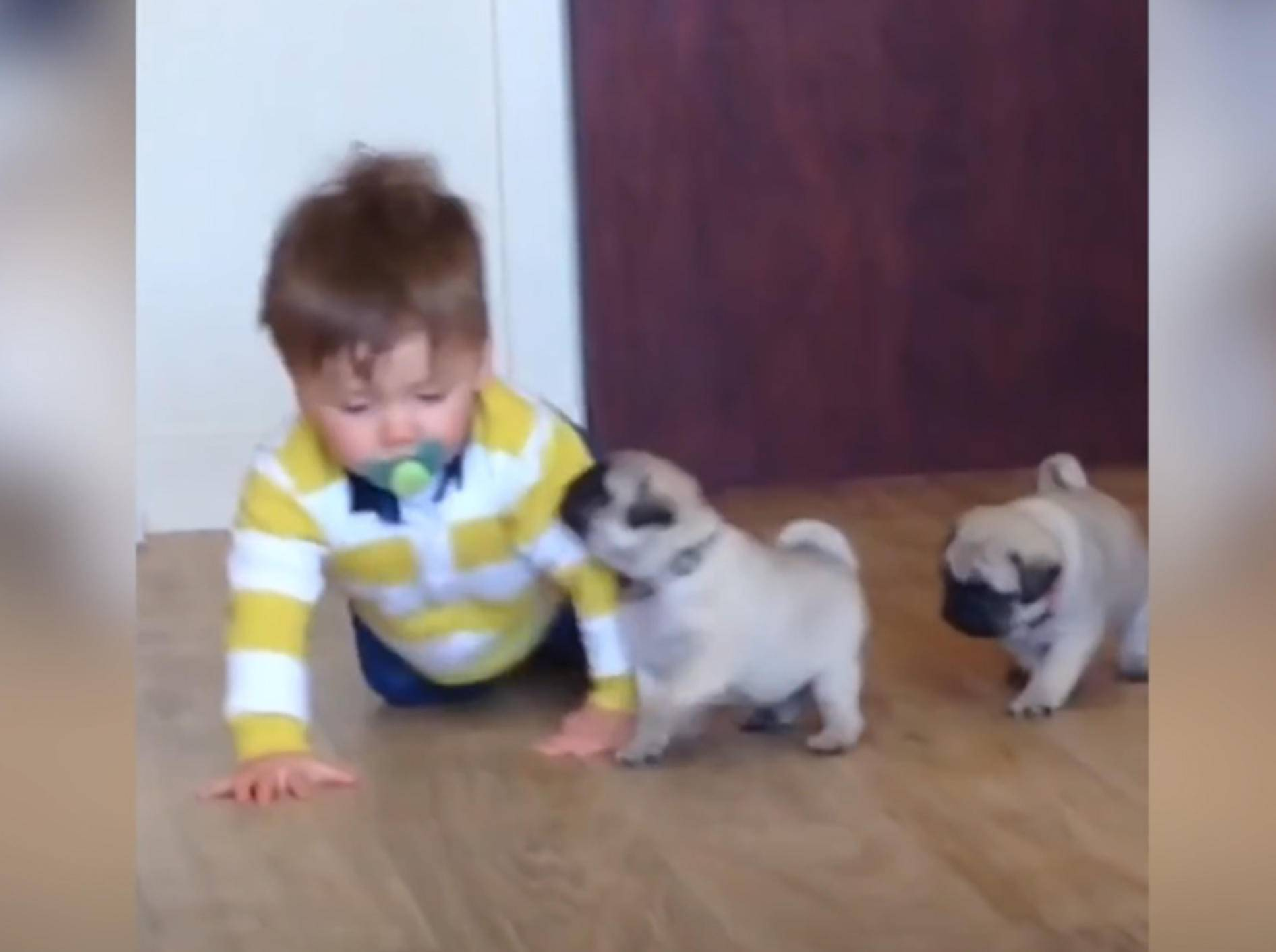 Baby Louie und Mopswelpen sind allerbeste Kumpels – YouTube / ABC Television Stations
