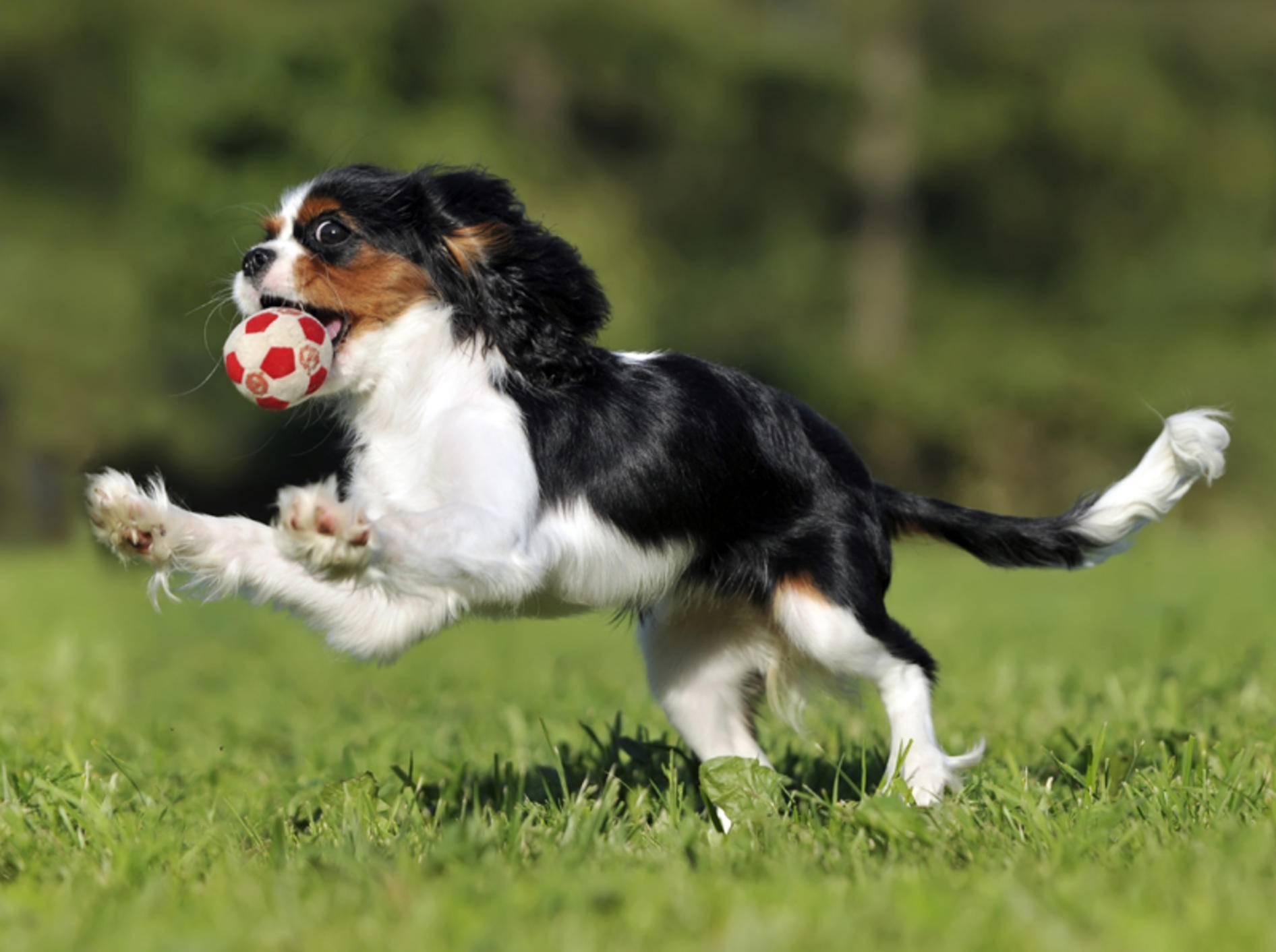 """""""Ich kann jederzeit aufhören, wenn ich will!"""", scheint dieser Balljunkie-Hund zu denken – Shutterstock / dogist"""