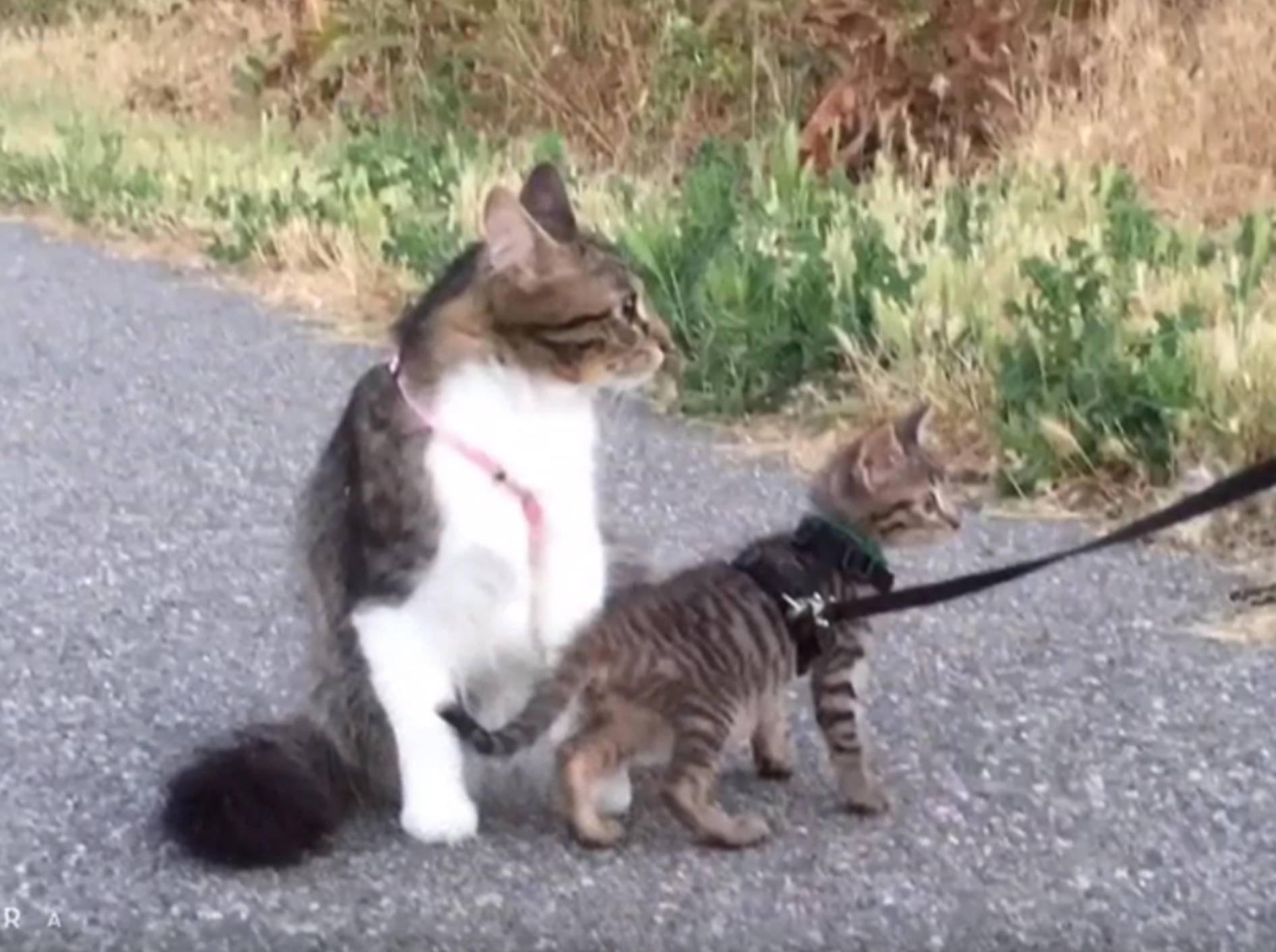 Katze Rosie bringt ihrem Schützling Tommy alles bei – YouTube / Lilothehusky