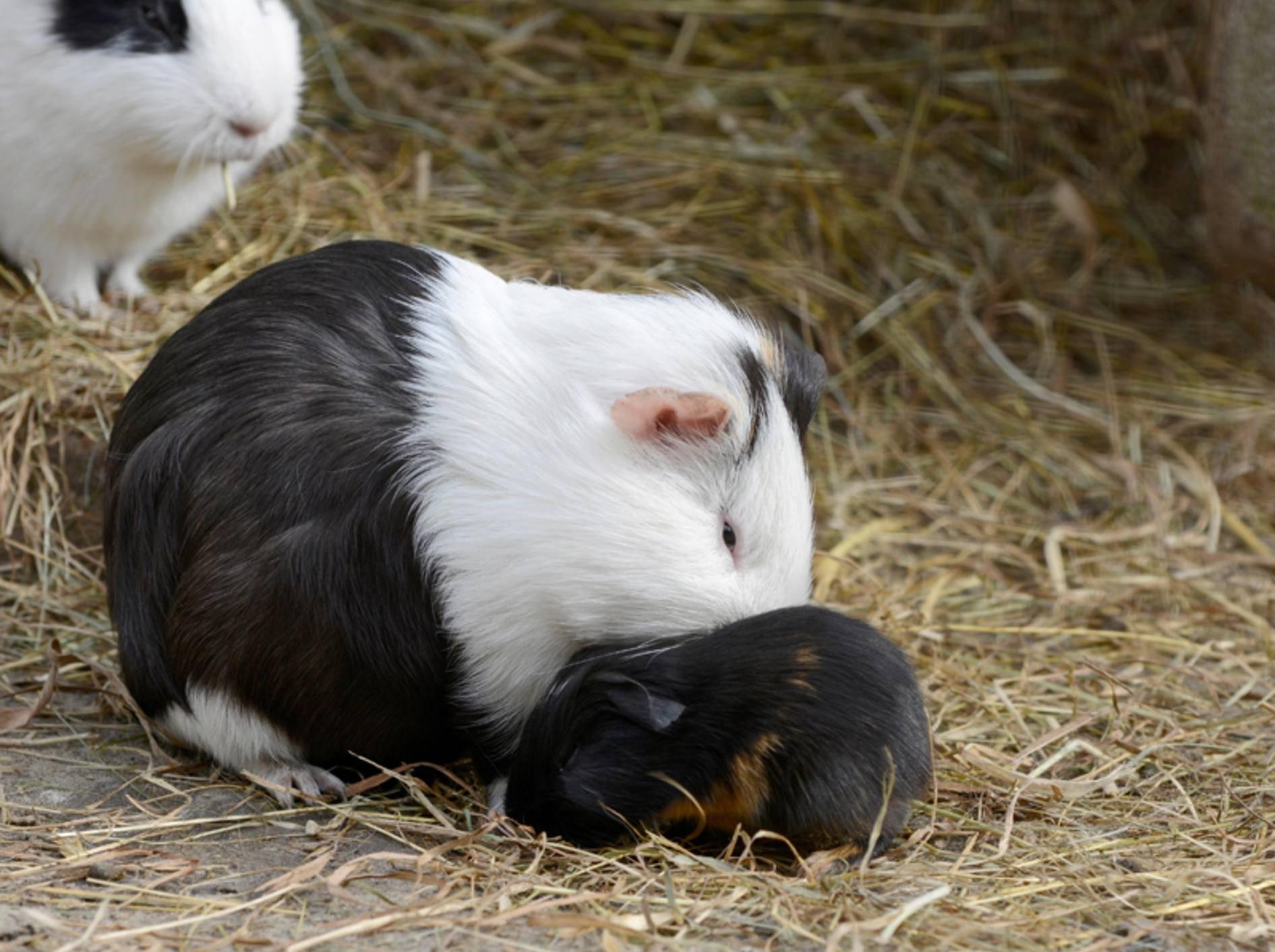 Meerschweinchenbabys sind Nestflüchter und kommen schon fast fertig entwickelt auf die Welt – Shutterstock / schubbel
