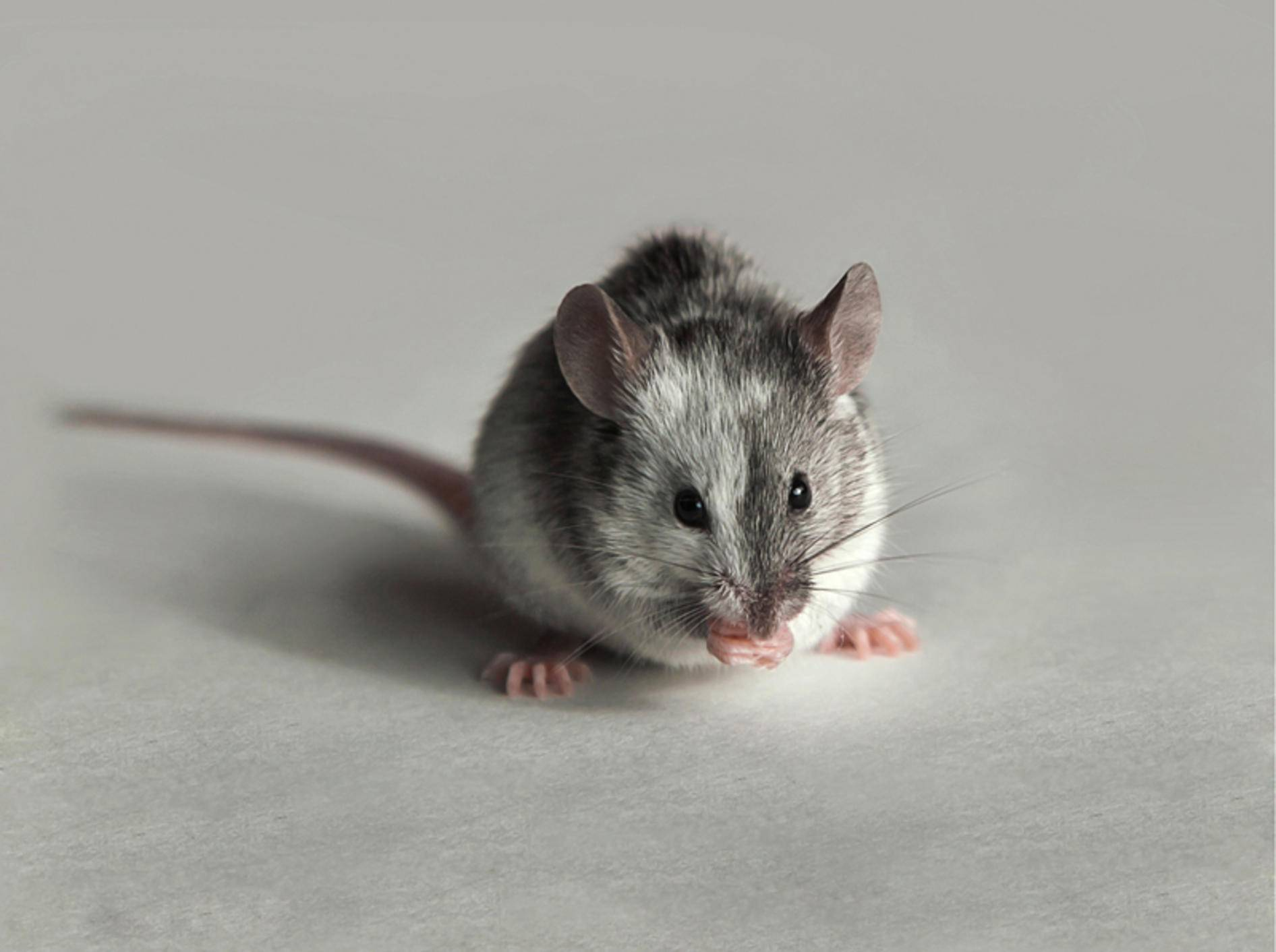 Was diese kleine Maus wohl zwischen ihren Pfoten hält? Es scheint ihr jedenfalls zu schmecken – Shutterstock / Nature Art