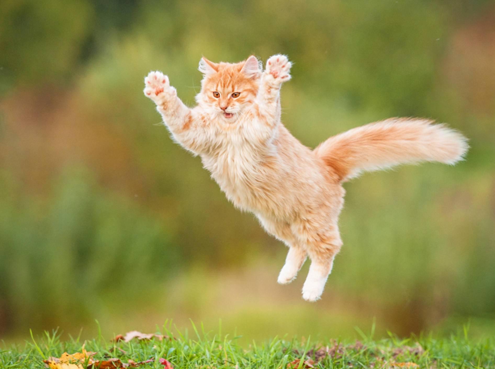 """""""Hahaaa! Nimm das, du Maus!"""" – Die Sprungkraft der Katzen kommt ihnen bei der Jagd zugute – Shutterstock / Rita Kochmarjova"""