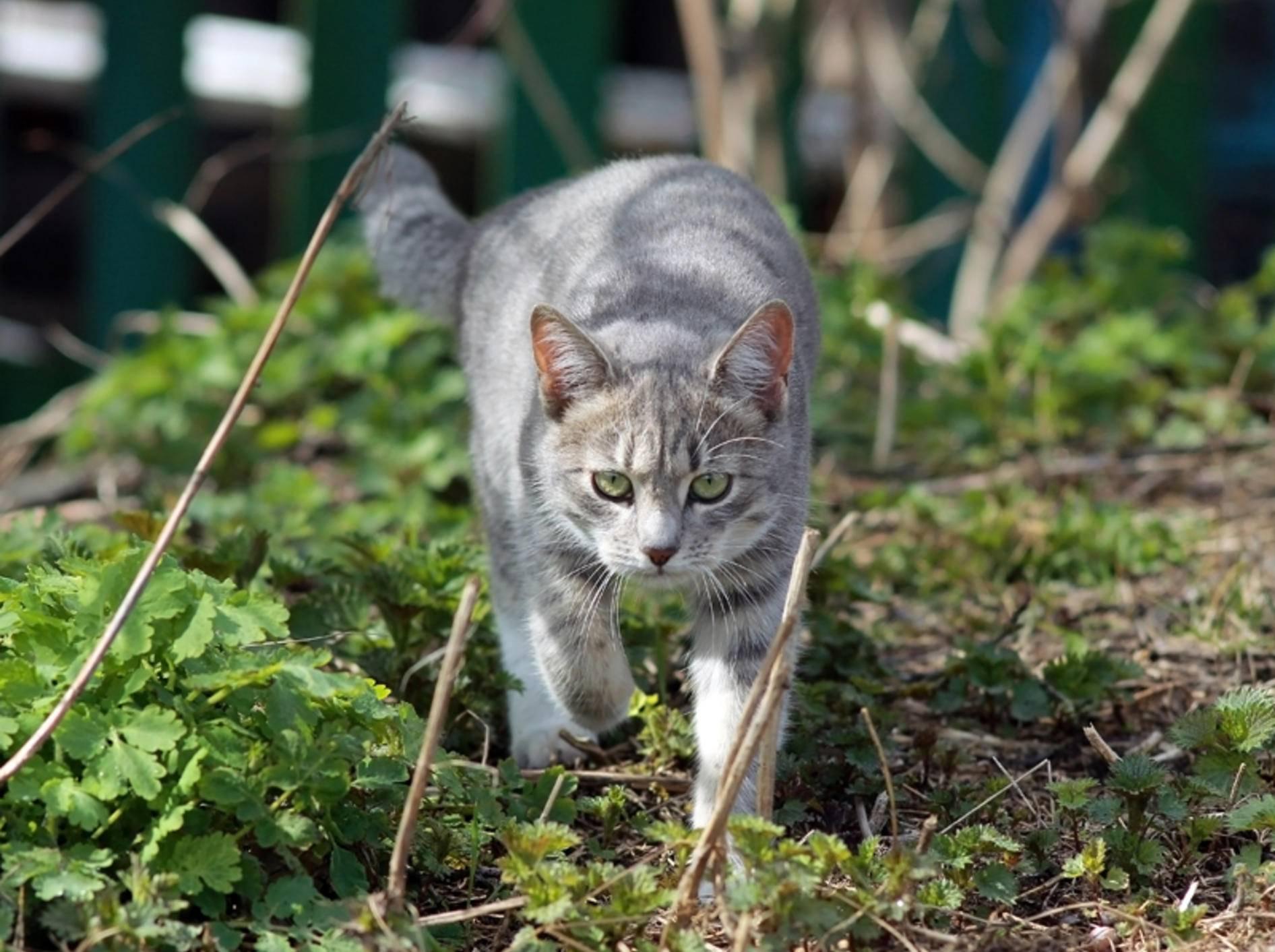 Diese hübsche silbergraue Tabby-Katze hat offenbar gerade eine Maus erblickt und schleicht sich gaaanz leise an – Shutterstock / He Shixin